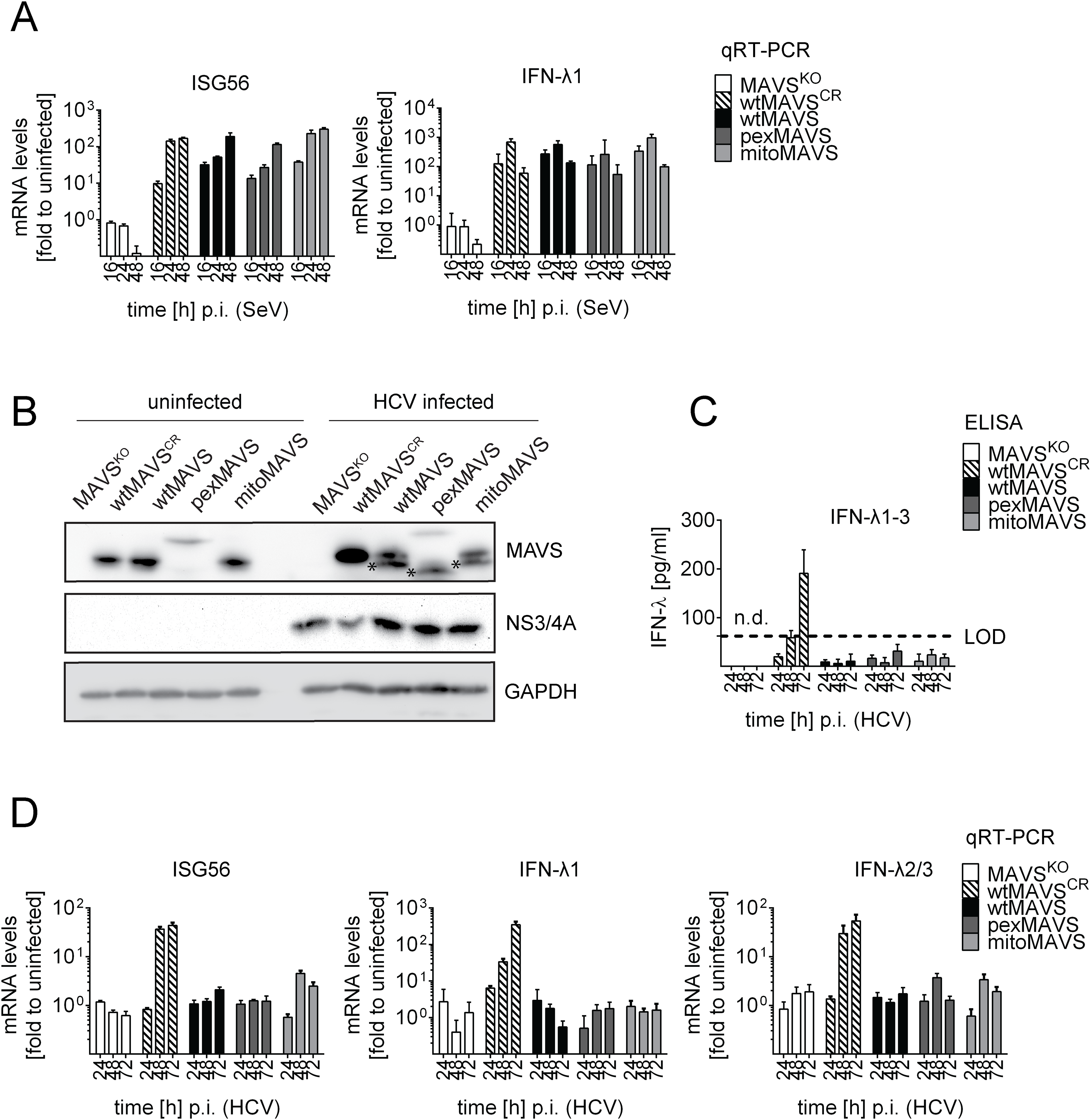 Blunting of the interferon response upon HCV infection occurs independent from MAVS subcellular localization.
