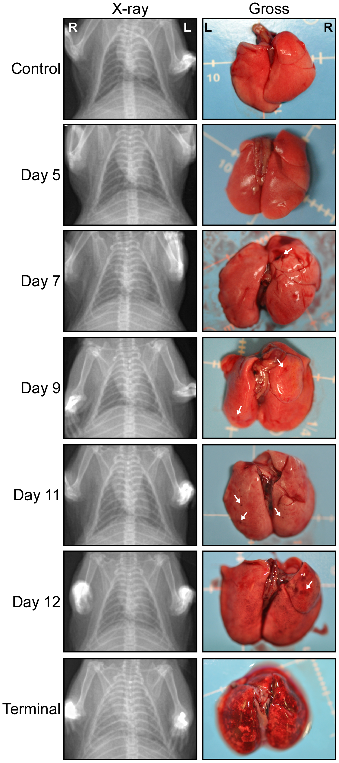 Radiographic imaging and gross lung pathology associated with HPS in hamsters.