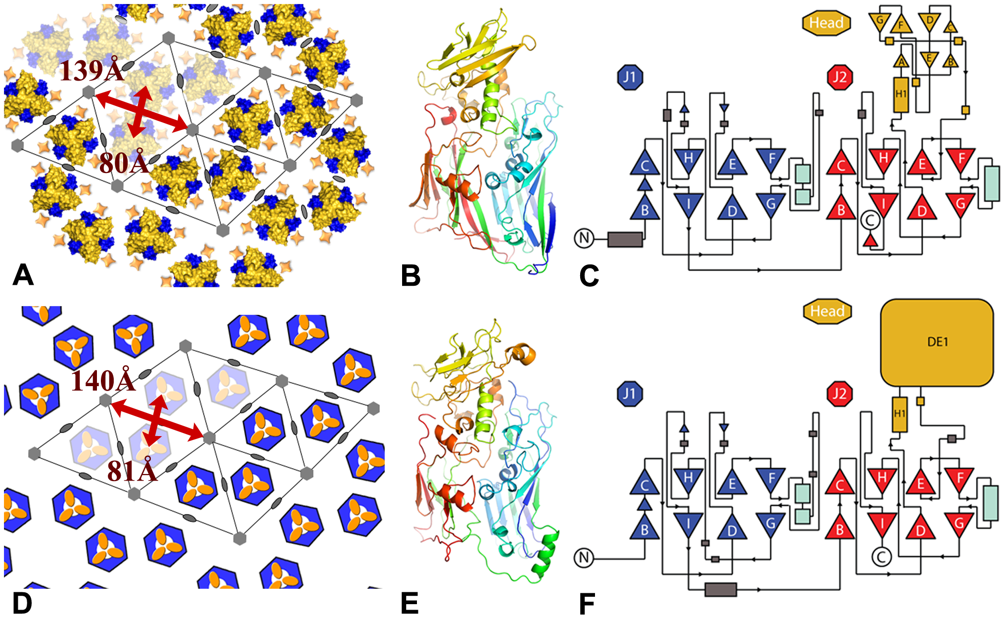 Comparison between the lattices and capsids of vaccinia virus and mimivirus.