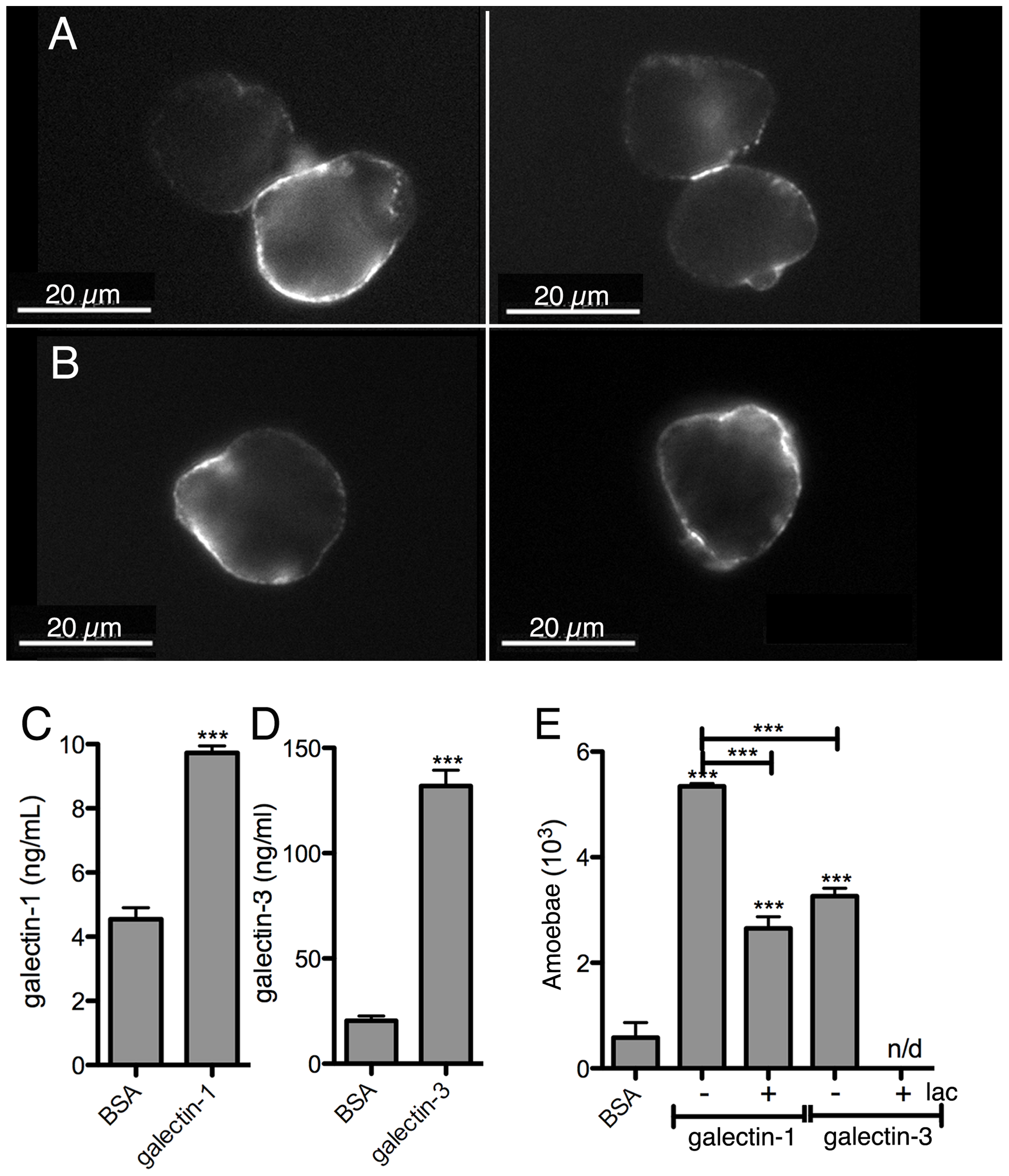 <i>E. histolytica</i> binding to human galectin-1 and -3.