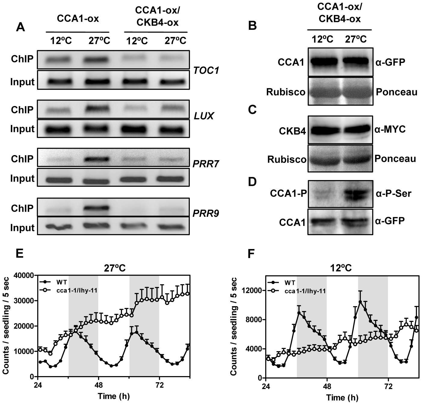 Effects of temperature and CK2 kinase function on CCA1 binding activity.