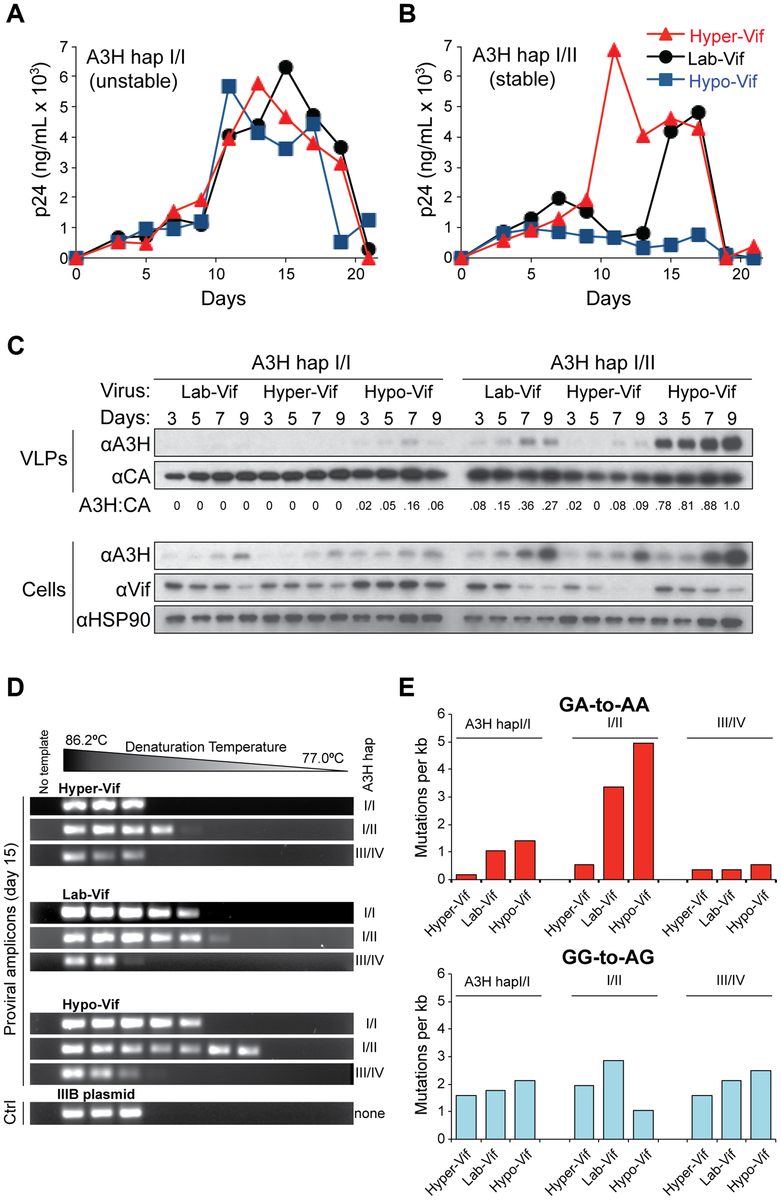 Stable APOBEC3H inhibits HIV-1 replication in primary T lymphocytes and inflicts GA-to-AA hypermutations.