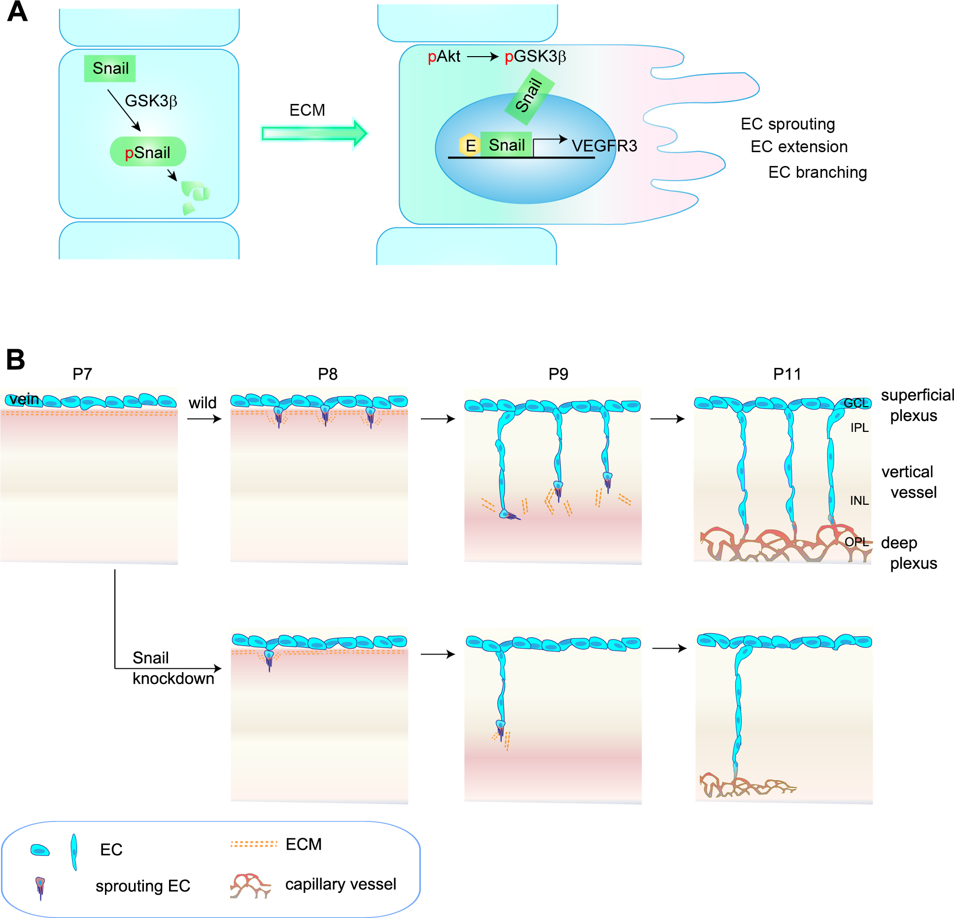 Proposed model of capillary branching morphogenesis in postnatal mice.