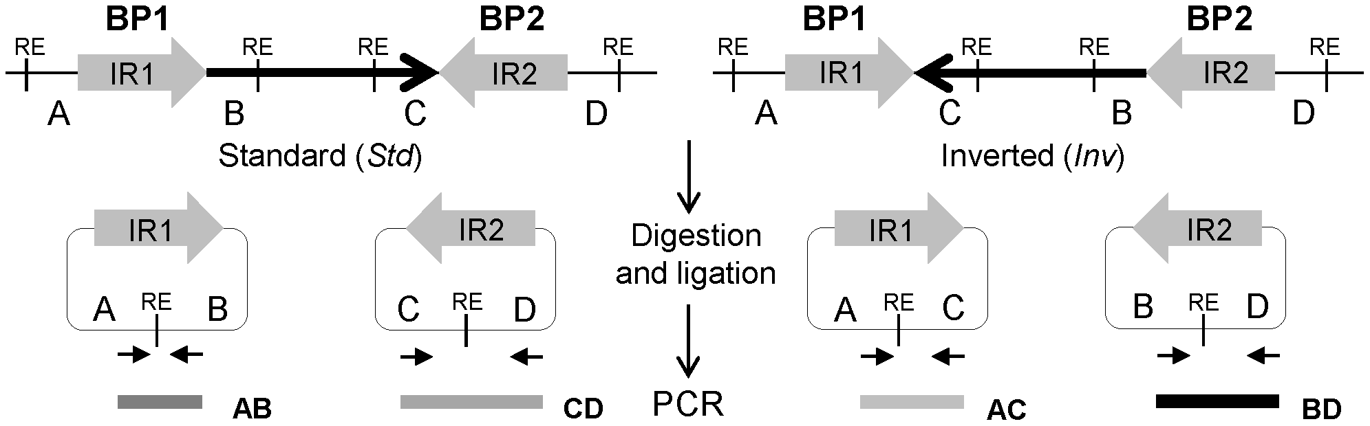 Diagram of iPCR validation of inversions mediated by inverted repeats (IRs).