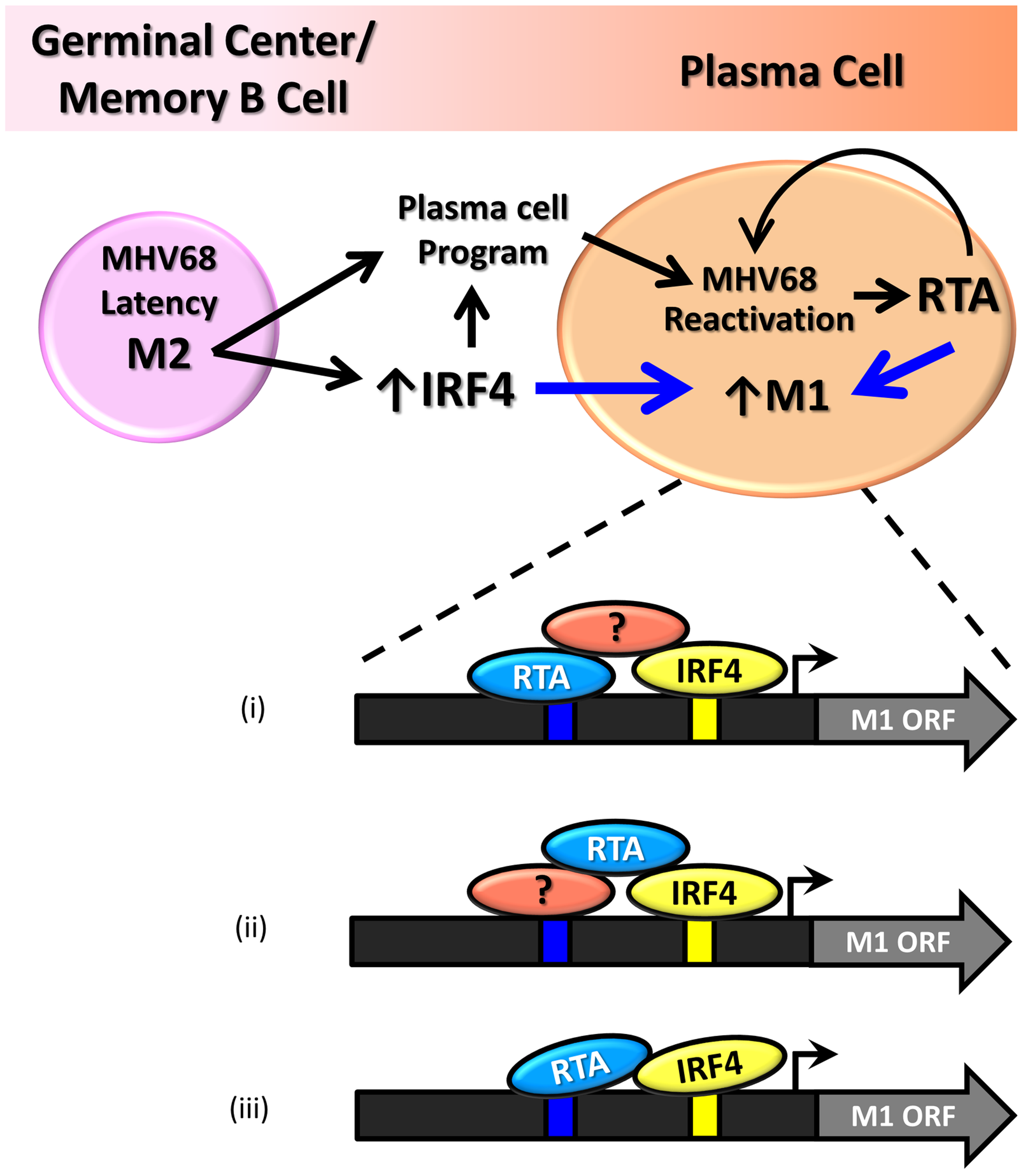 Model of M1 gene regulation upon differentiation of latently infected B cells to plasma cells and ensuing virus reactivation.