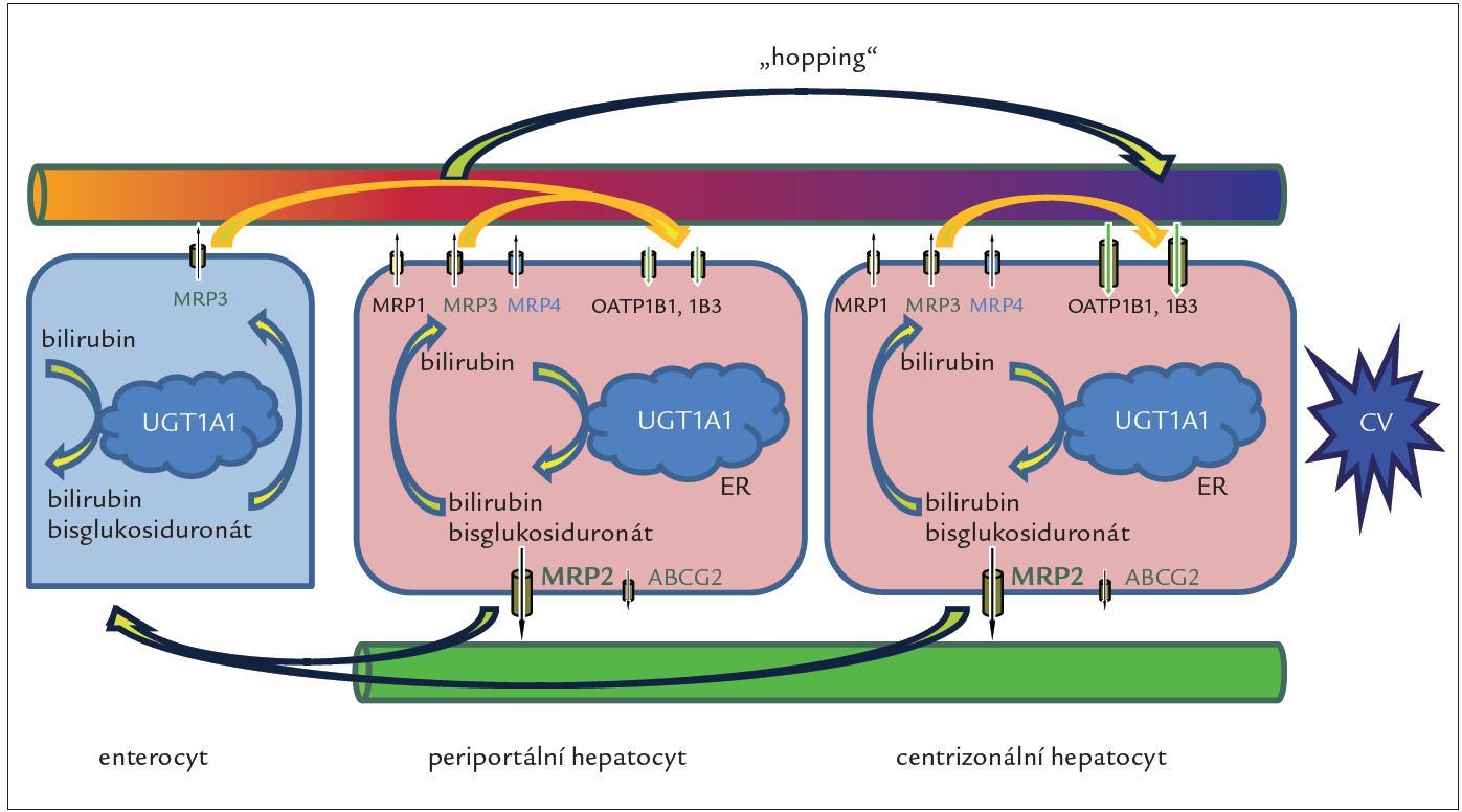 """Obr. 2. Jaterní cyklus konjugovaného bilirubinu. Cyklus zprostředkovávaný proteiny MRP3 a OATP1B se může odehrávat jak v periportálních, tak v centrizonálních hepatocytech, kde je exprese proteinů OATP1B nejvyšší. Nejvýznamnější je ale přesun (""""hopping"""") konjugovaného bilirubinu a dalších substrátů MRP3 a OATP1B z periportálních do centrizonálních hepatocytů. Tento přesun nejen zvyšuje celkovou sekreční kapacitu jater pro bilirubin, ale může i chránit periportální hepatocyty před toxicitou vstřebaných xenobiotik, léků a jejich konjugátů. Proteiny OAT1B rovněž odpovídají za jaterní clearance bilirubinu konjugovaného ve splanchnické oblasti, zejména ve střevě, a konečně střevní konjugace spolu s jaterním vychytáváním konjugátů může představovat alternativní dráhu v enterohepatálním oběhu bilirubinu. Úplná absence proteinů OATP1B1 a OATP1B3 byla pozorovaná u RS. CV – centrální véna, ER – endoplazmatické retikulum"""