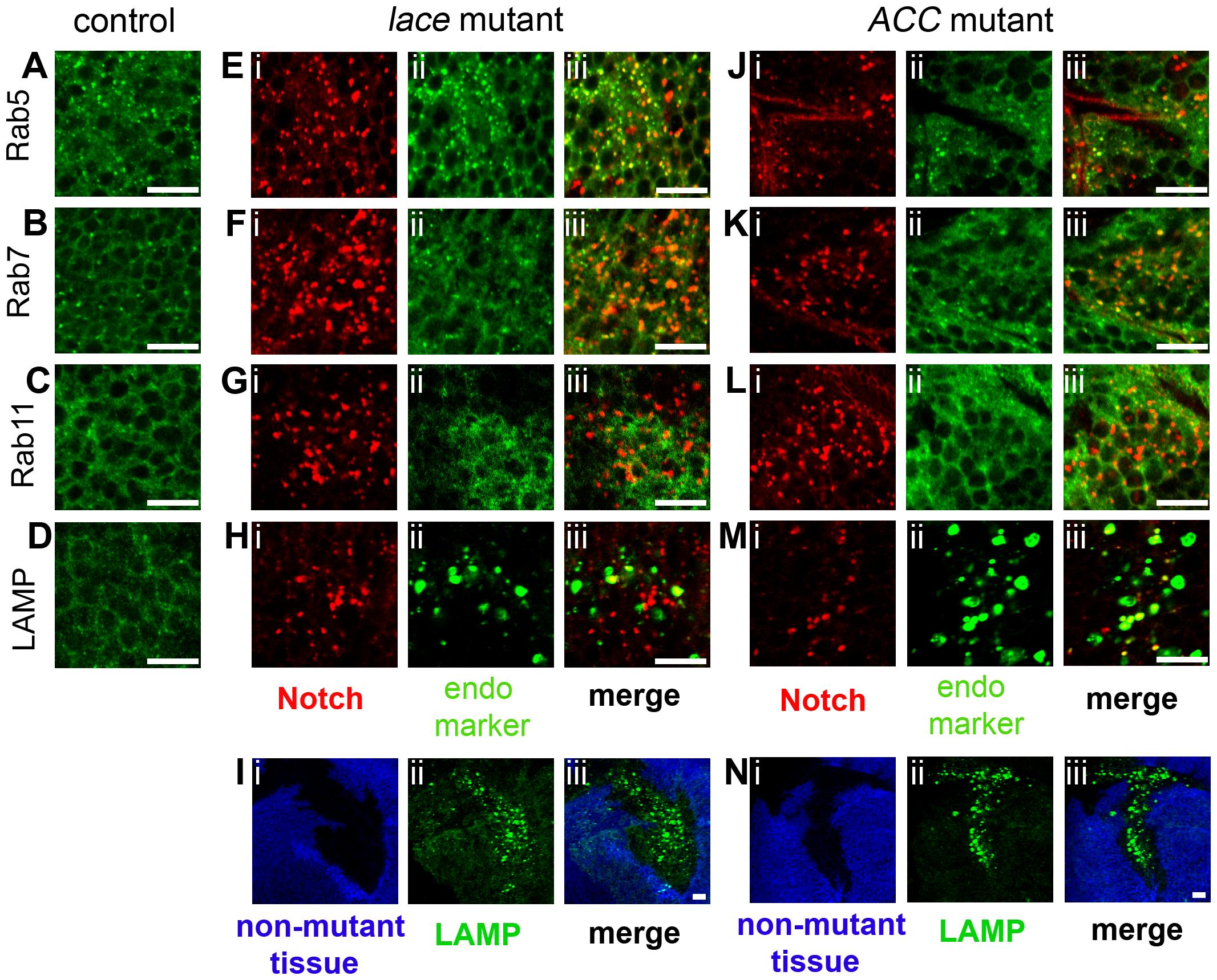Colocalization of Notch with endosomal and lysosomal markers in <i>lace</i> and <i>ACC</i> mutant tissue clones.