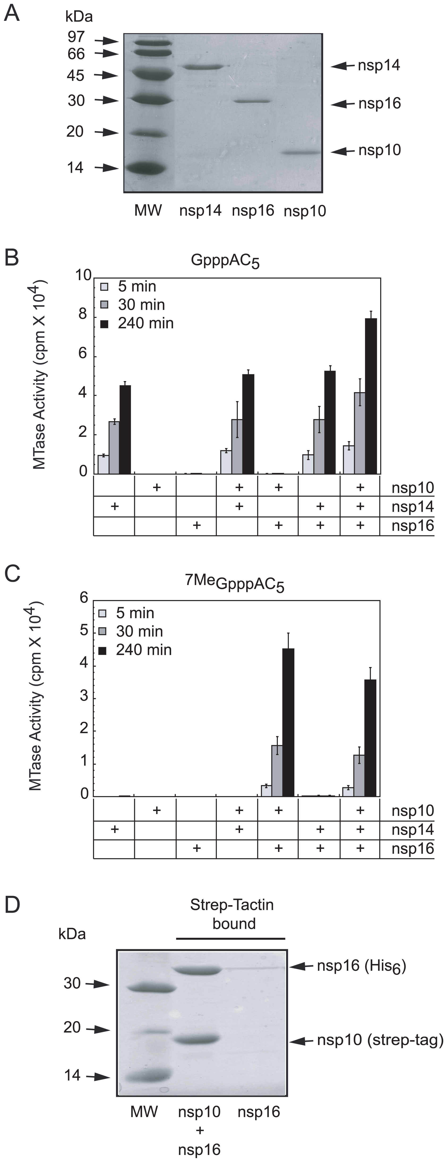 SARS-CoV proteins nsp14, nsp16 and nsp10 purification, AdoMet-dependent MTase activity on short capped RNA and complex formation of nsp16/nsp10.
