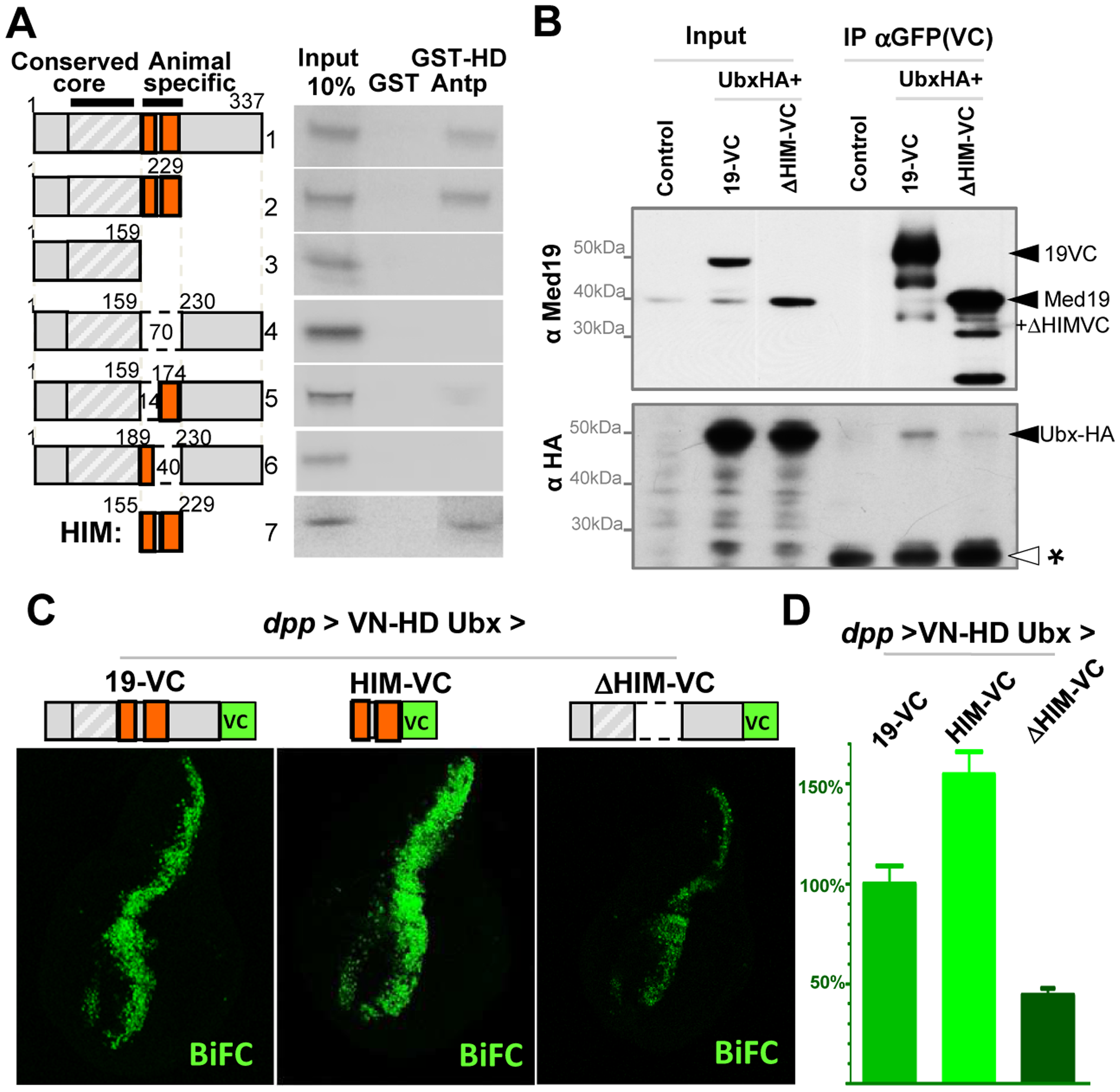 Direct HD binding through a conserved 70 a.a. Med19 homeodomain-interacting motif (HIM).