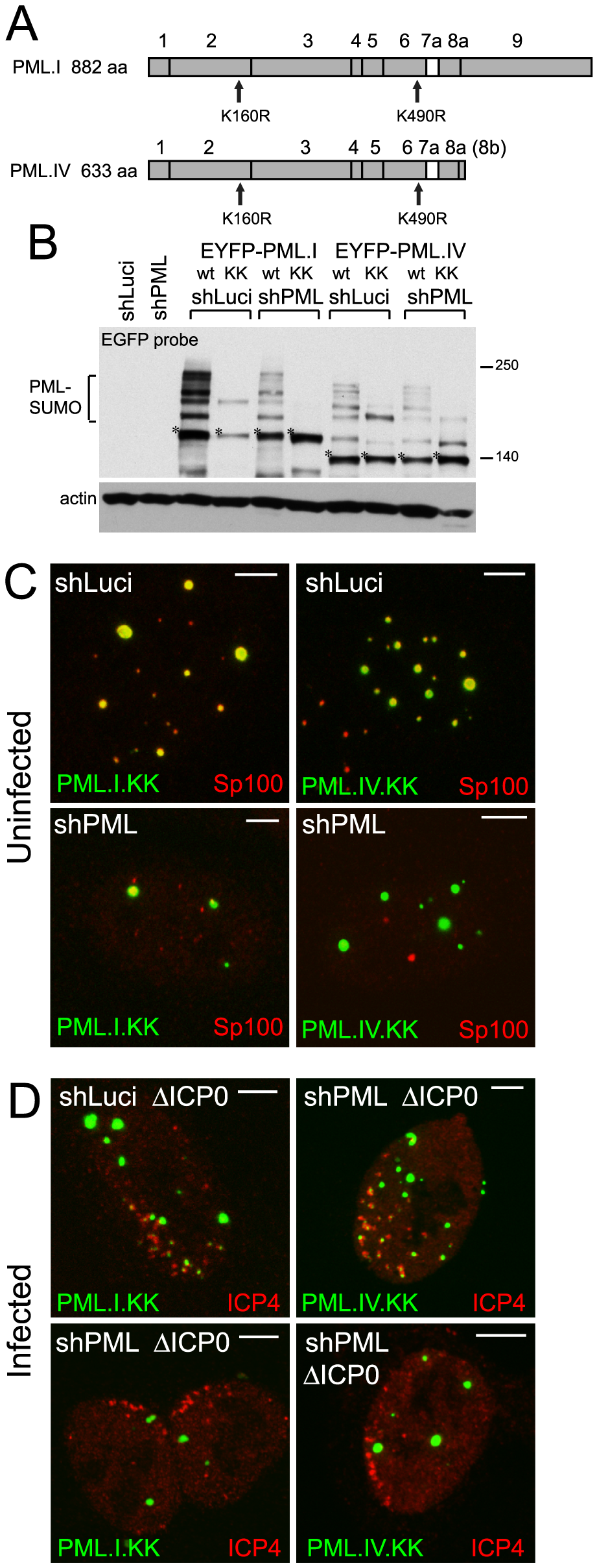 SUMO modification mutants of PML are defective in recruitment to sites associated with HSV-1 genomes.