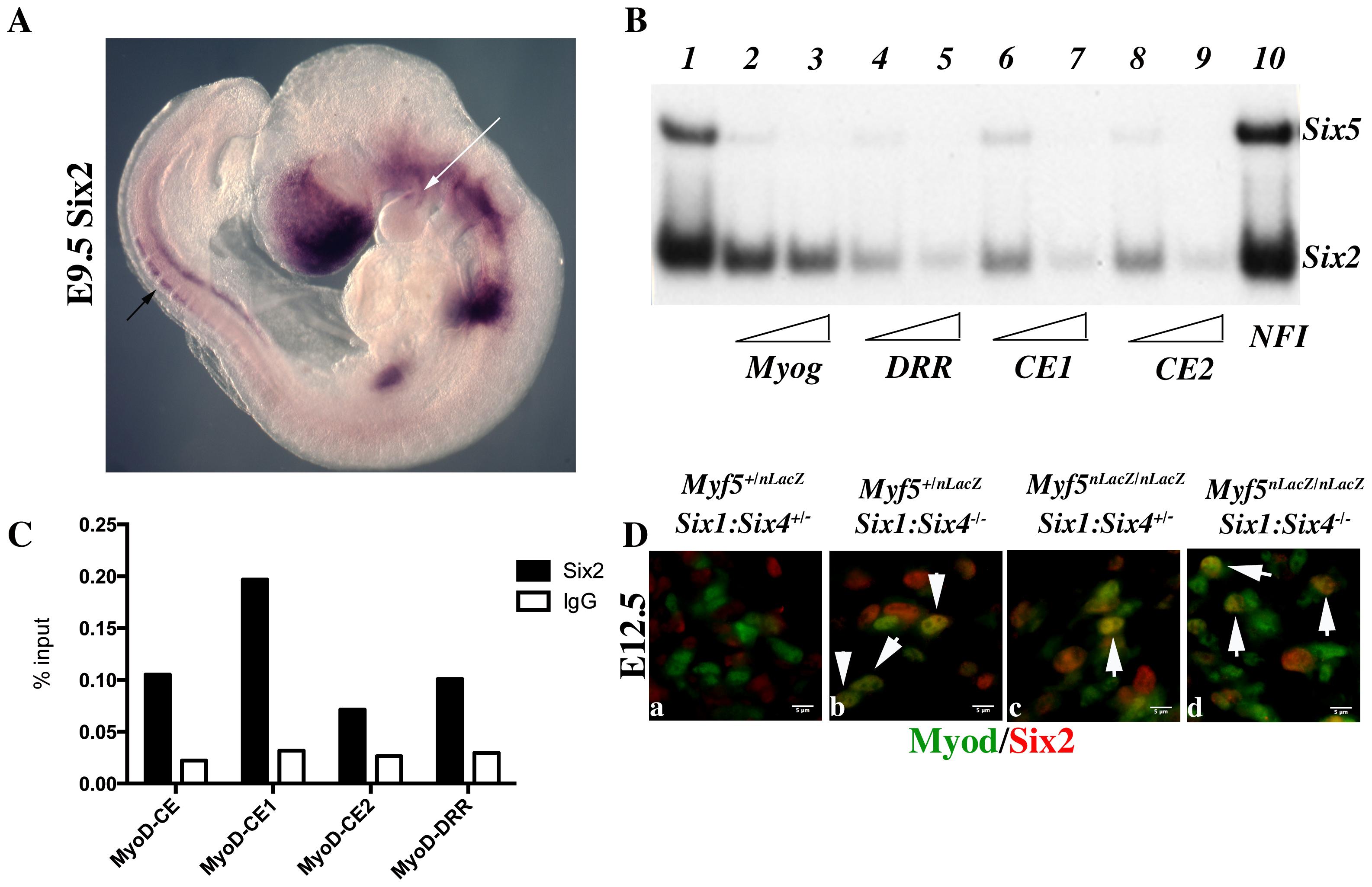 Six2 proteins bind <i>Myod</i> regulatory elements.