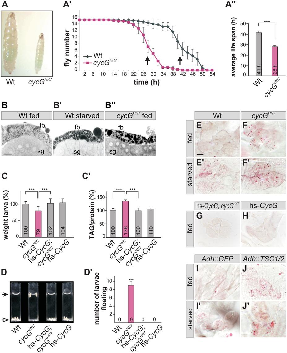 <i>cycG</i><sup><i>HR7</i></sup> mutant animals show defects in fat metabolism.