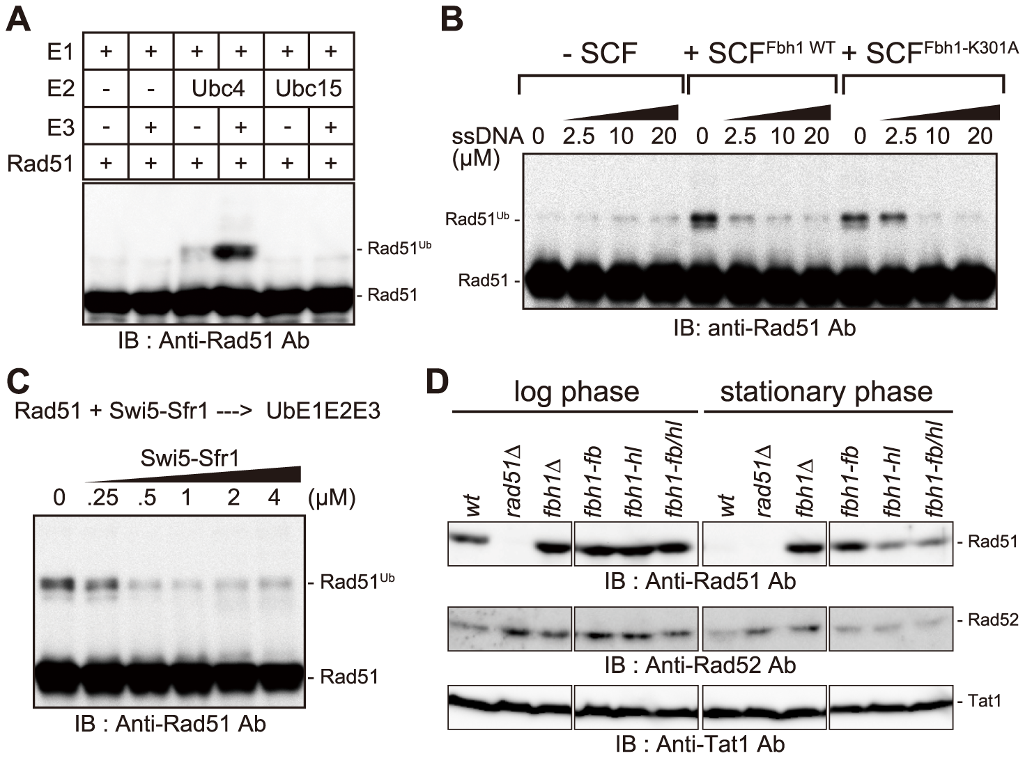 Rad51 is ubiquitinated <i>in vitro</i> in an SCF<sup>Fbh1</sup>-dependent manner.