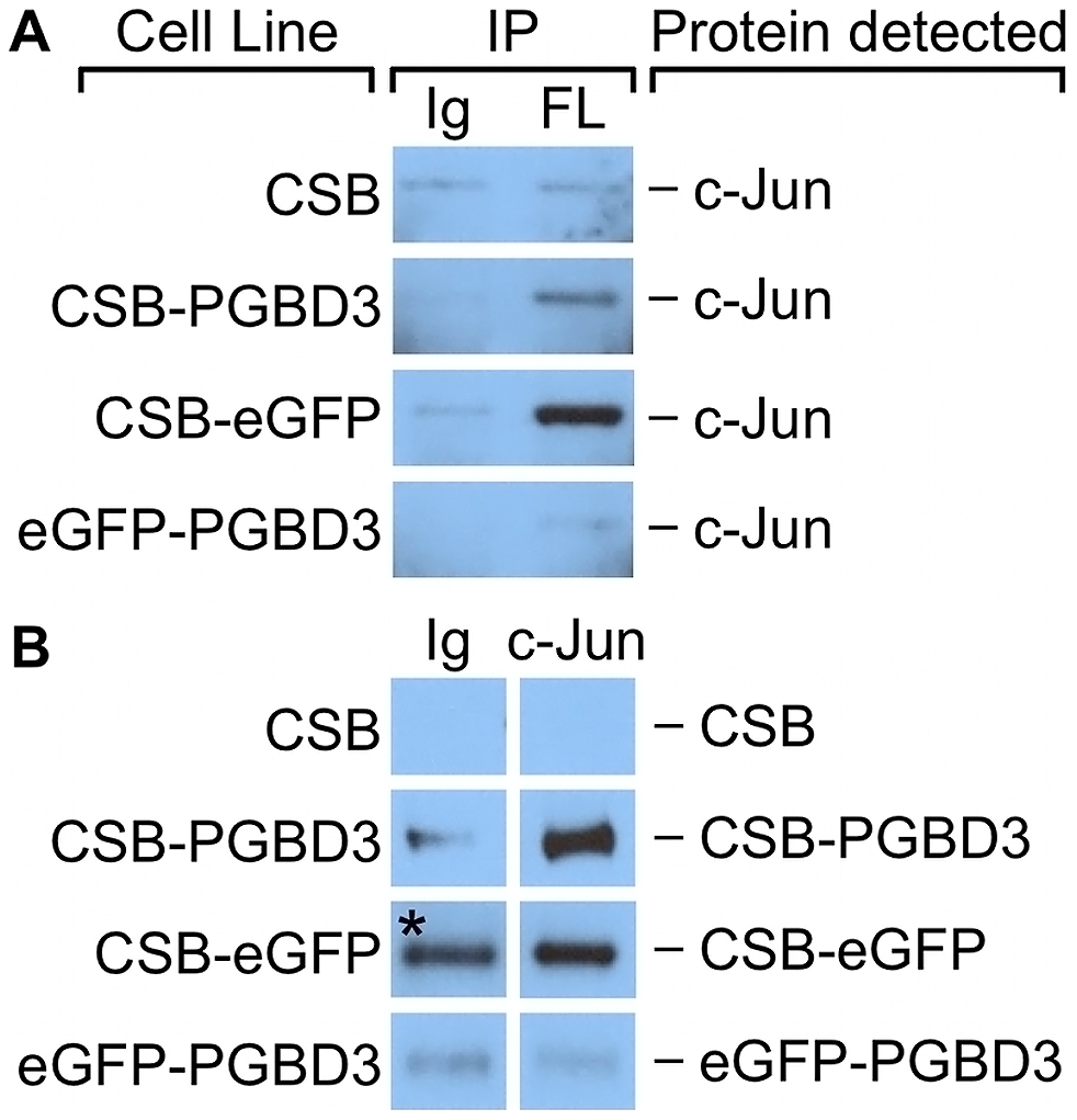 c-Jun co-immunoprecipitates with the CSB-PGBD3 and CSB-eGFP proteins, but not with eGFP-PGBD3.