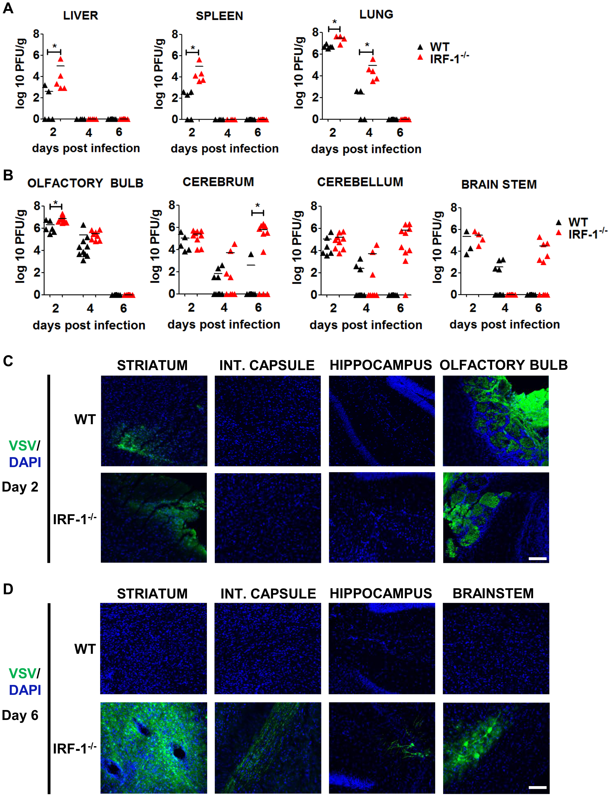 IRF-1 mediated antiviral effect is critical for viral replication during later stages of viral replication in the brain.