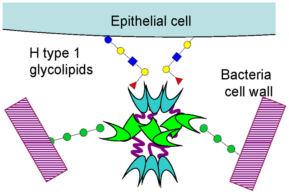 Schematic representation of BC2L-C hexamer cross-linking host epithelial cells and bacteria surface.