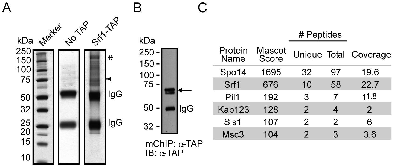 mChIP of Srf1–TAP co-purifies Spo14.
