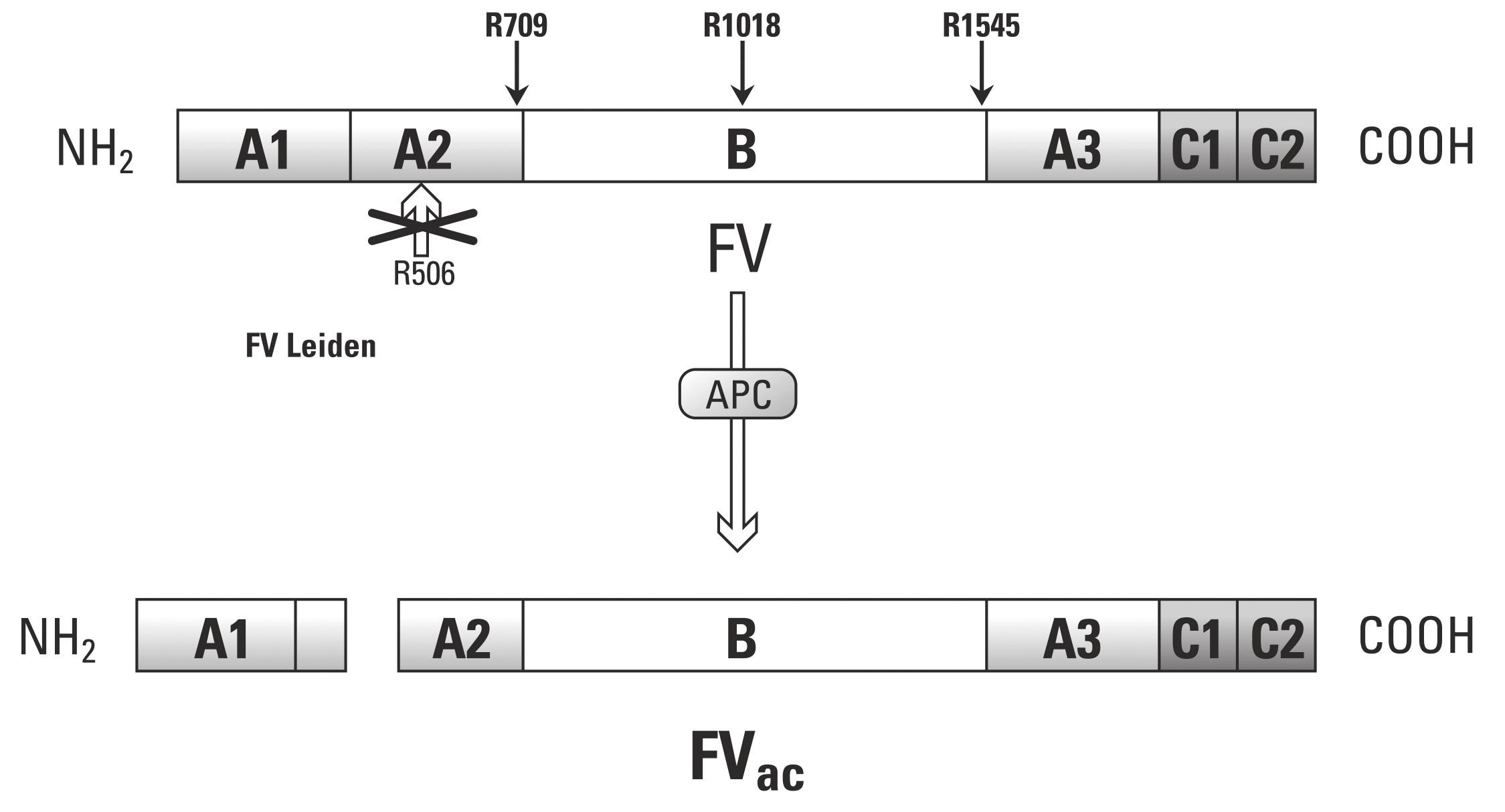 Antikoagulační struktura F V (převzato z práce Segers K., Dahlbäck B, Nicolaes G. Coagulation factor V and thrombophilia: Background and mechanisms).
