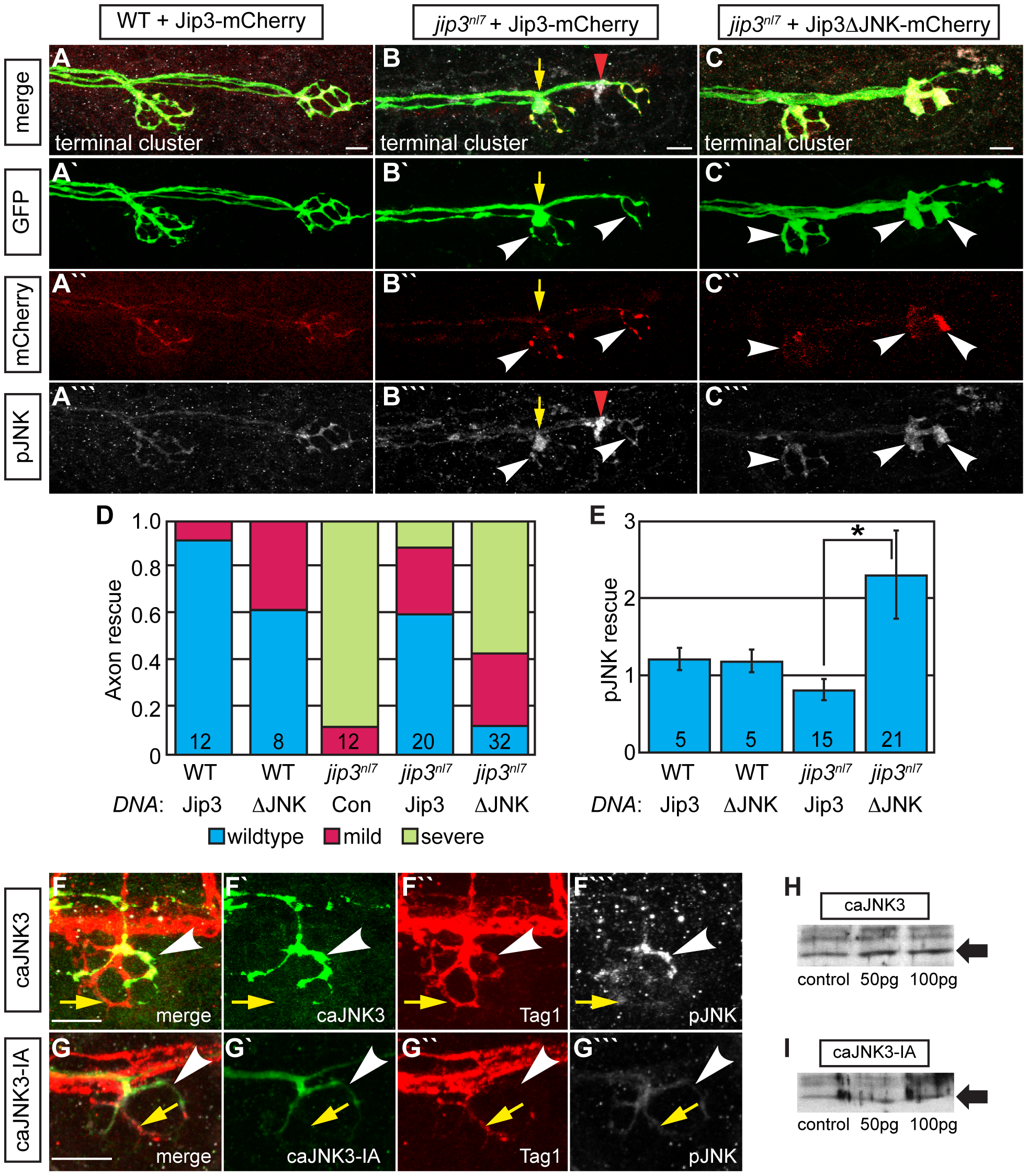 Jip3 interaction with JNK was necessary for pJNK clearance and the prevention of axon swellings.
