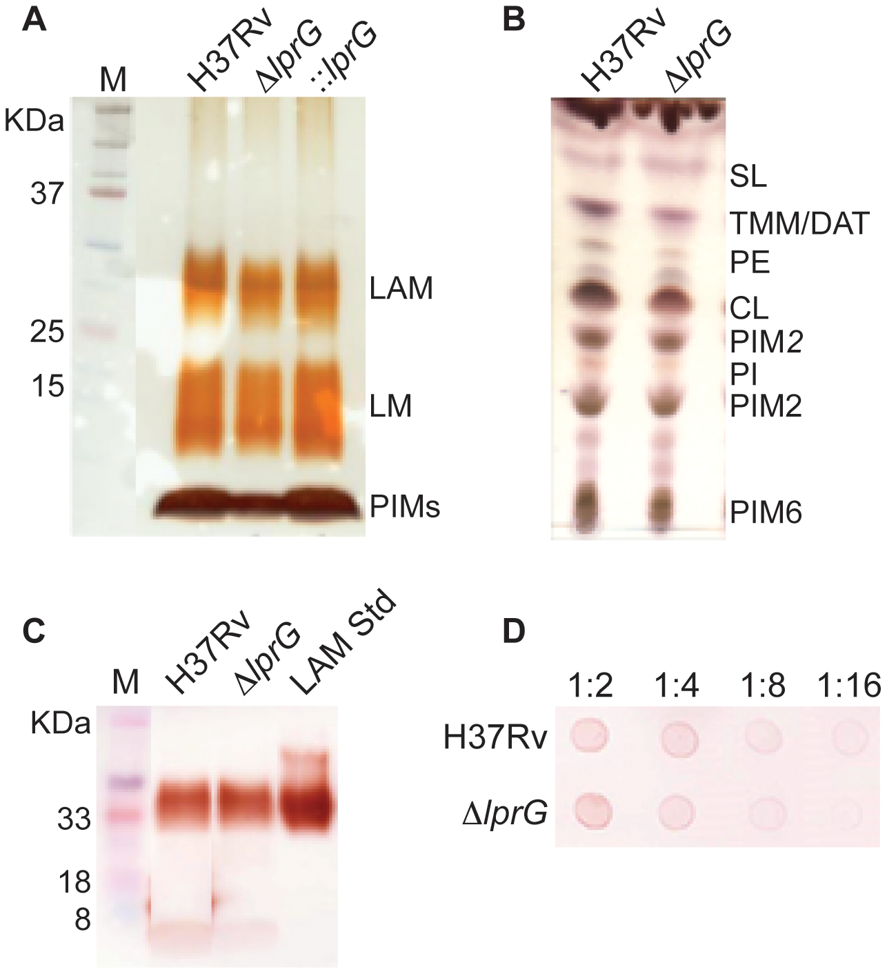 The <i>lprG</i> mutant has normal LAM content in the cell envelope.