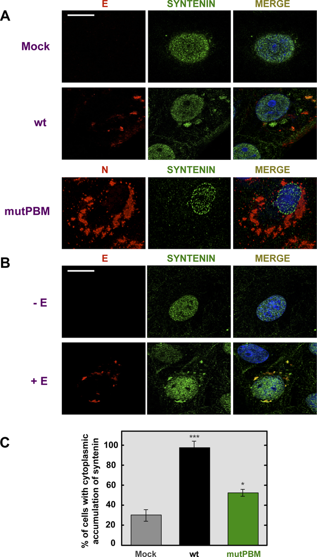 Colocalization of SARS-CoV E protein and syntenin in transfected and infected cells.
