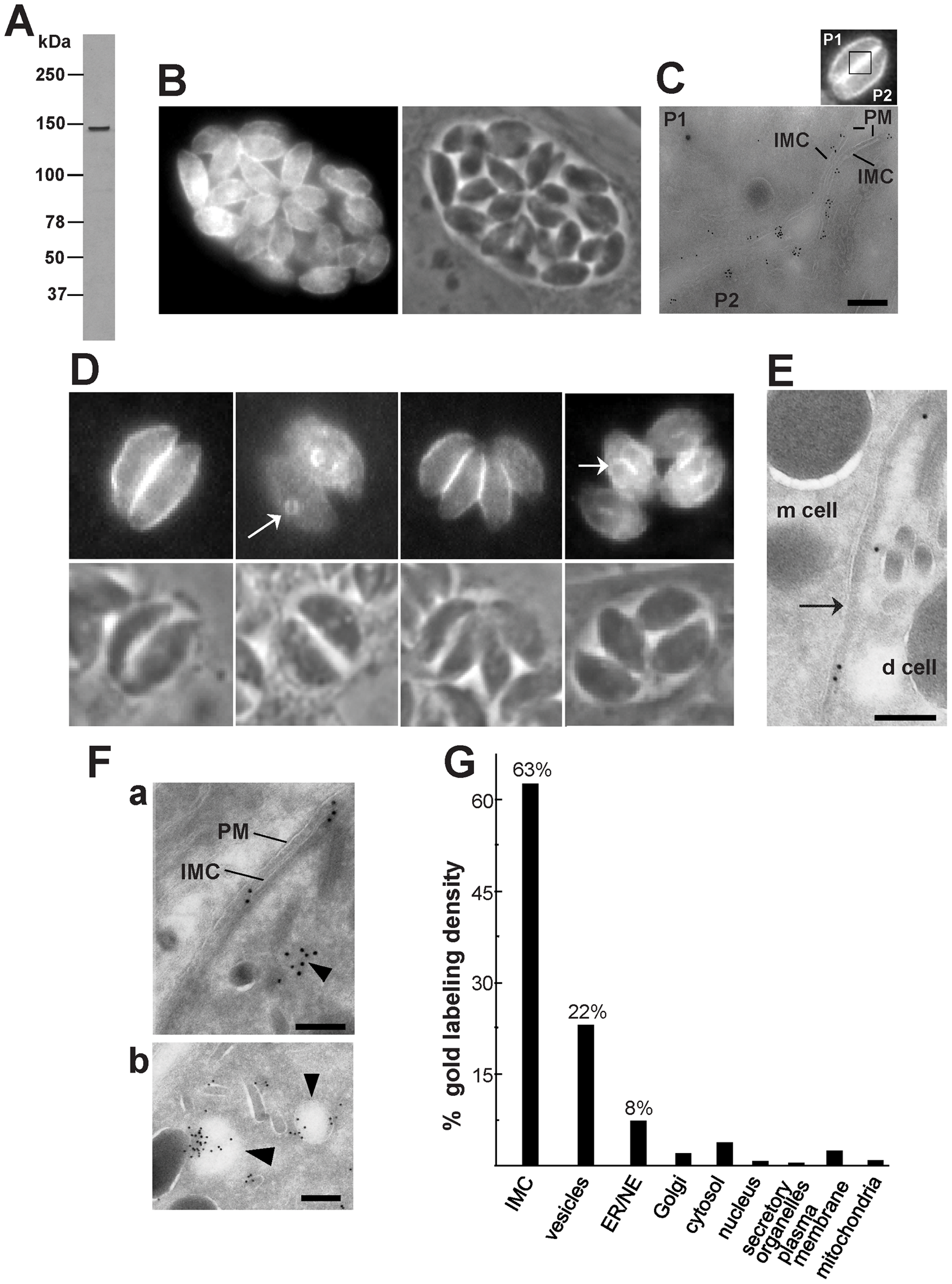 Expression and distribution of TgNCR1 in transgenic <i>T. gondii.</i>
