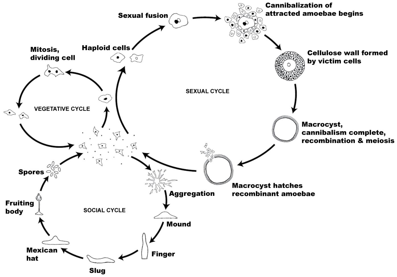 The life cycle of <i>Dictyostelium discoideum</i>.