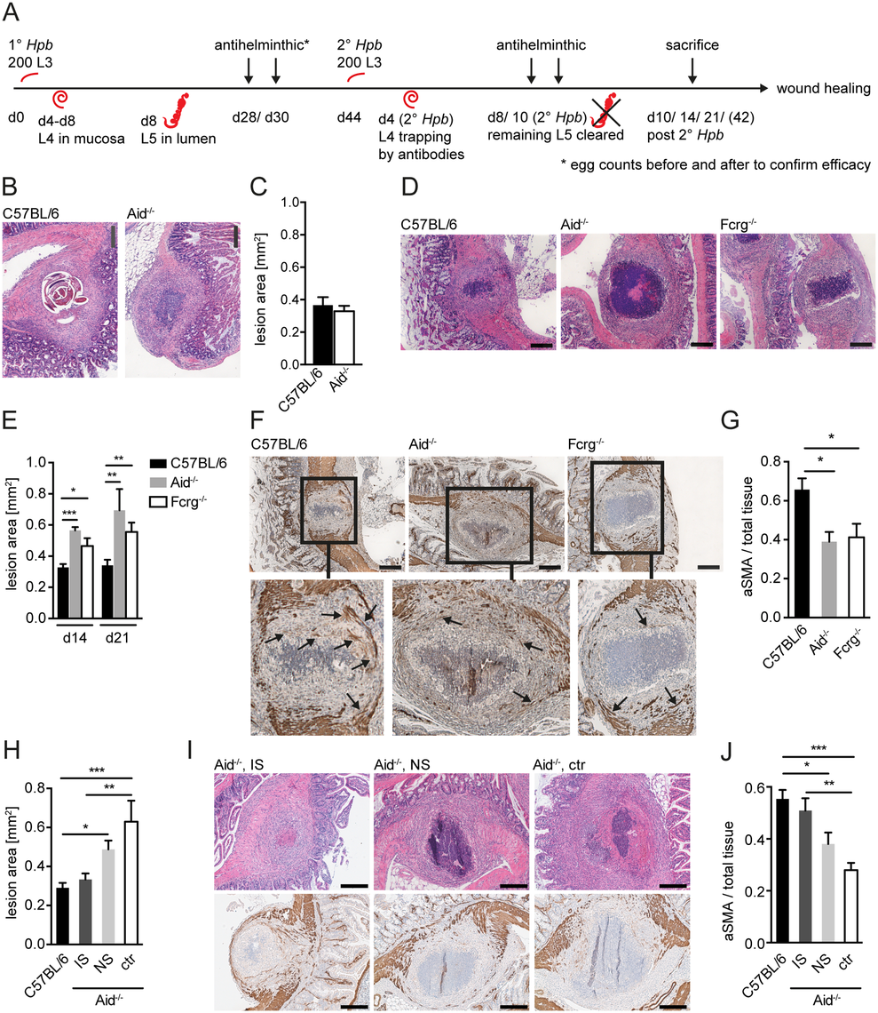 Antibody and Fcrg deficient mice display increased intestinal lesions and reduced accumulation of myofibroblasts.