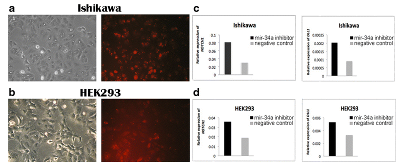 Detection of <m>NOTCH1</m> and <m>DLL1</m> expression in transfected Ishikawa and HEK293 cell lines. BLOCK-iT Alexa Fluor red fluorescent and mir-34a inhibitor transfection in (<b>a</b>) Ishikawa cells and (<b>b</b>) HEK293 cells. The photos were taken 24 h after transfection corresponding to morphology of cells (left) and BLOCK-iT Alexa Fluor red fluorescent (right). <b>c</b> The level of <m>NOTCH1</m> and <m>DLL1</m> expression in Ishikawa cells 48 h after transfection with mir-34a inhibitor compared with the negative control. <b>d</b> The level of <m>NOTCH1</m> and <m>DLL1</m> expression in HEK293 cells 48 h after transfection with mir-34a inhibitor compared with the negative control