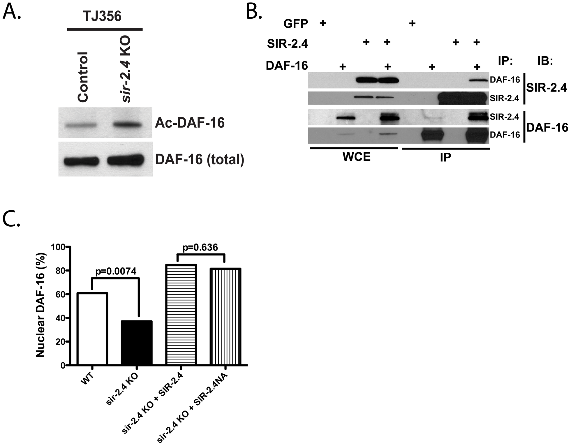 SIR-2.4 interacts with DAF-16 and promotes DAF-16 deacetylation and function independently of catalytic activity.