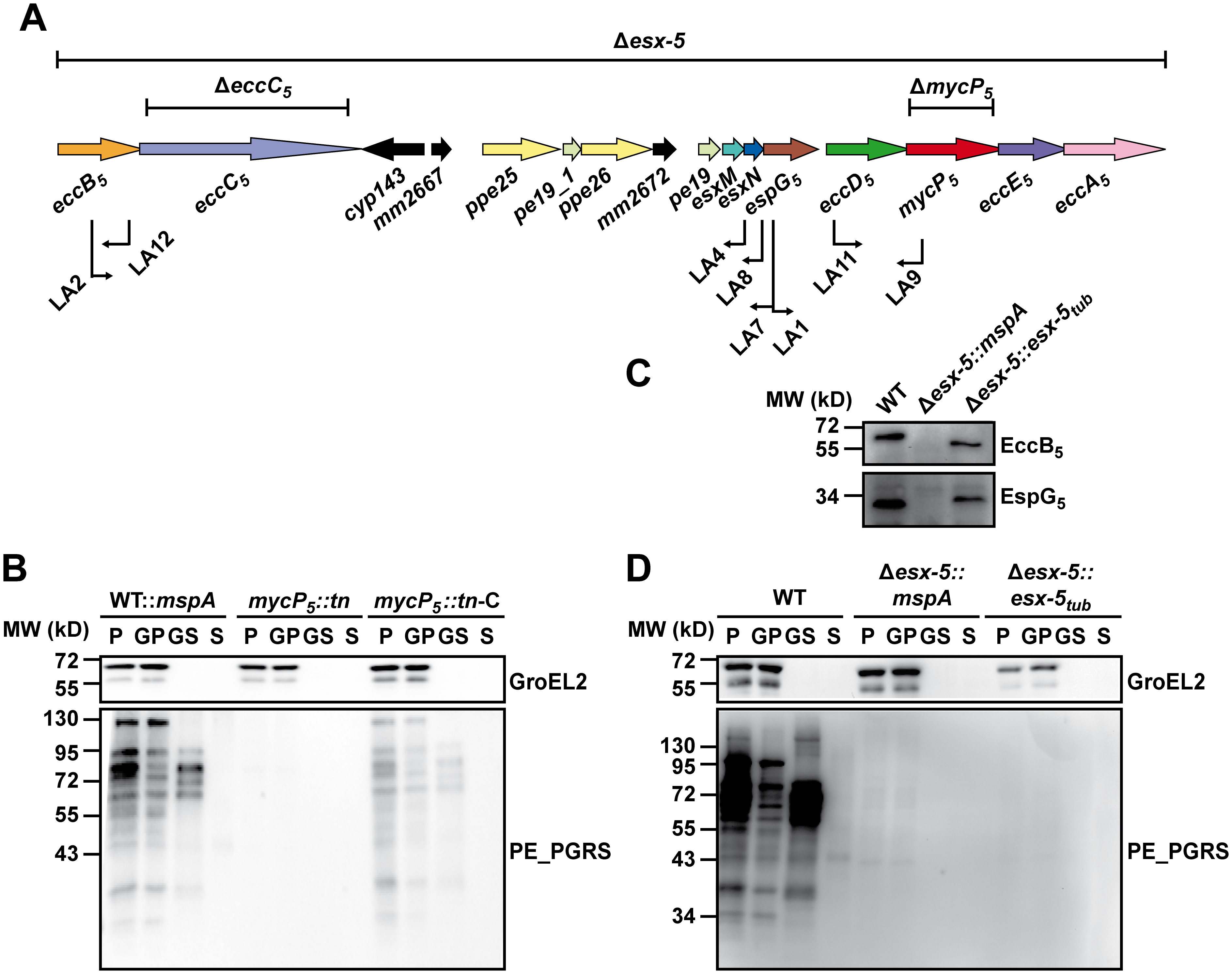 Secretion analysis of ESX-5 mutant strains.