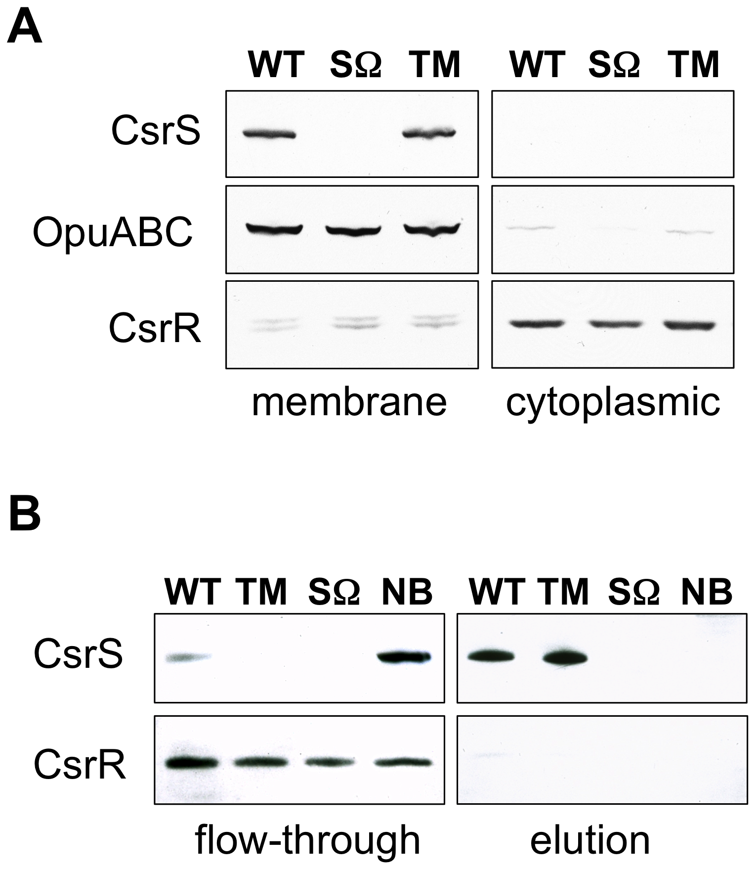 CsrS is associated with the cell membrane and contains a surface-exposed domain.