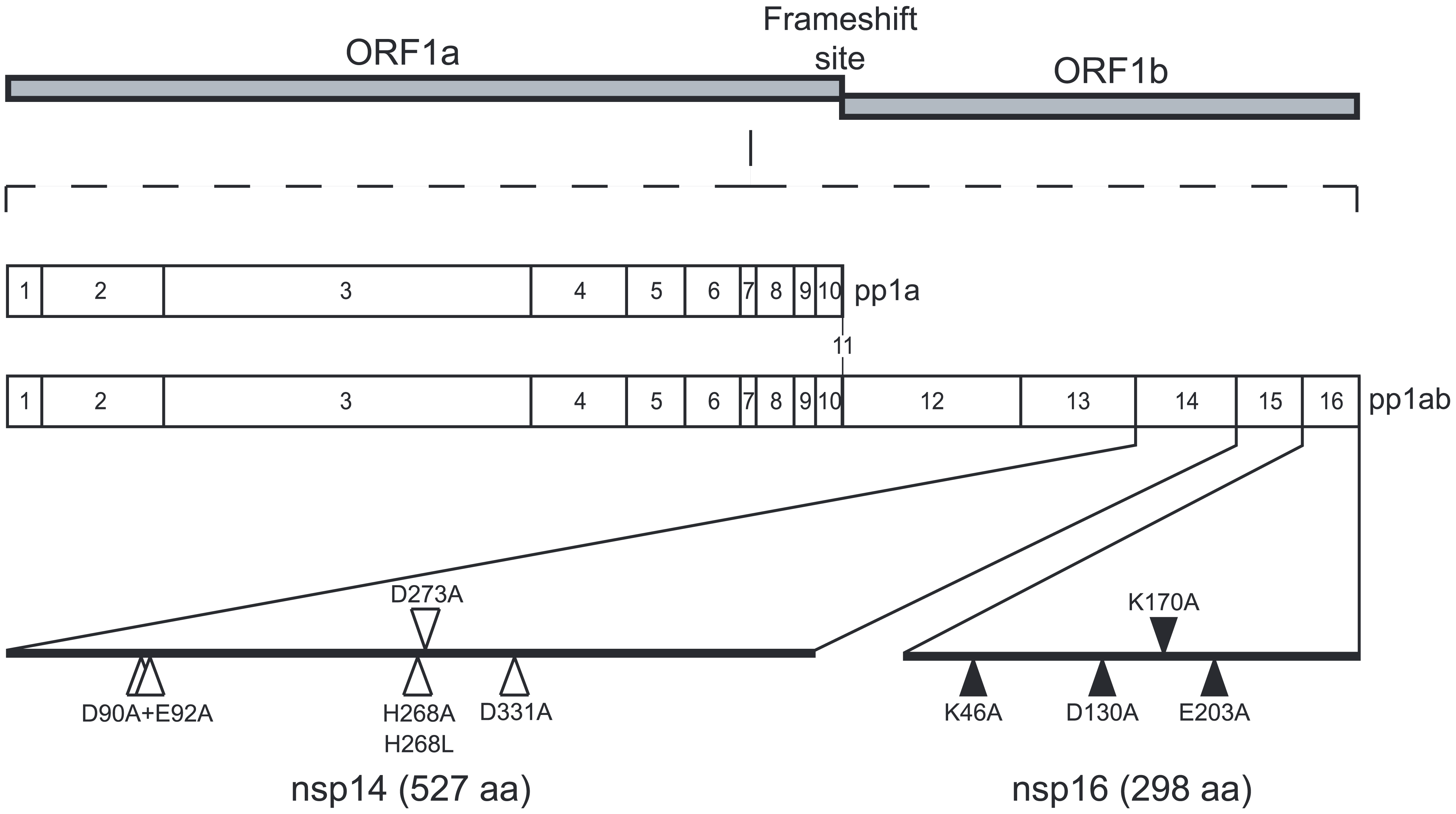 Genomic organization of CoV pp1a/pp1ab and location of the nsp14 and nsp16 mutants.