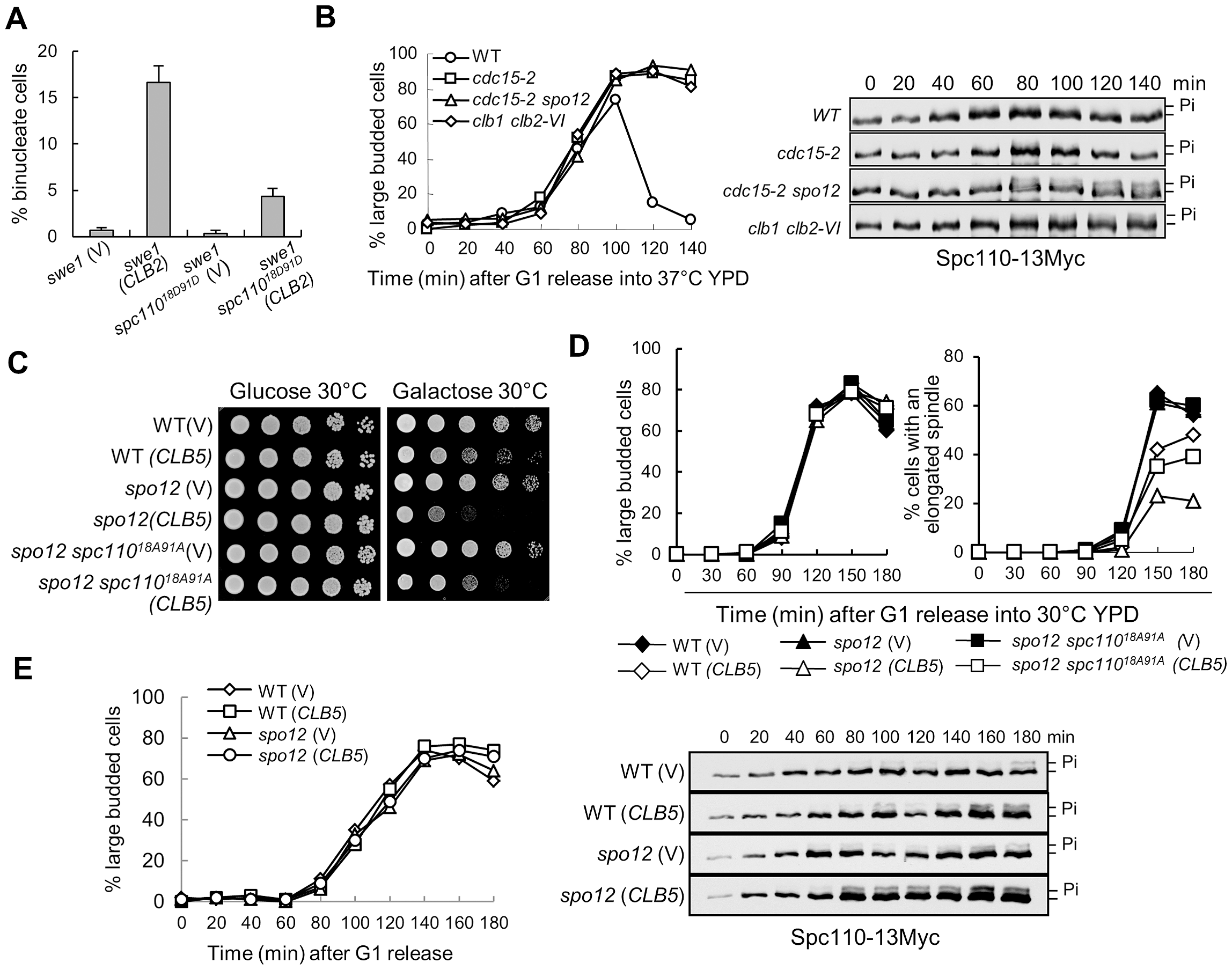 The dephosphorylation of Spc110 promotes spindle elongation.