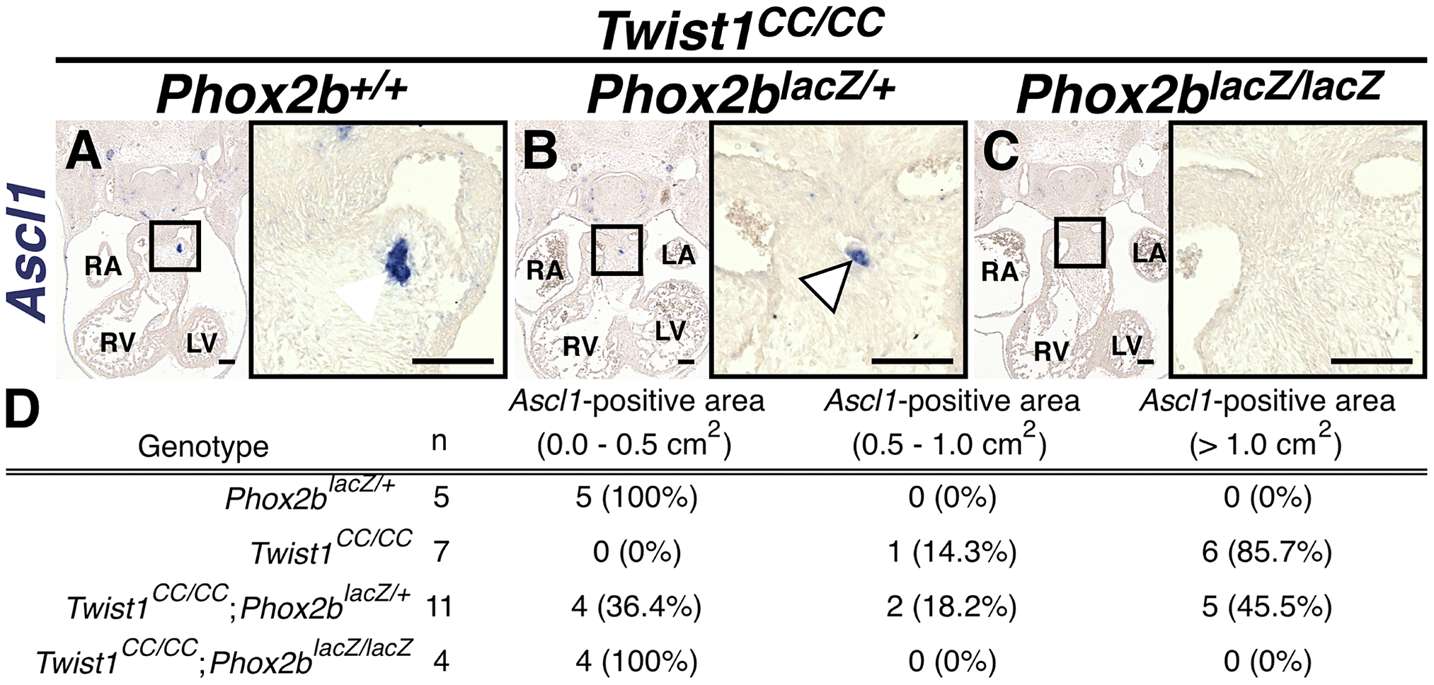 Ectopic neurogenesis in <i>Twist1<sup>CC</sup></i> mutants is Phox2b-dependent.