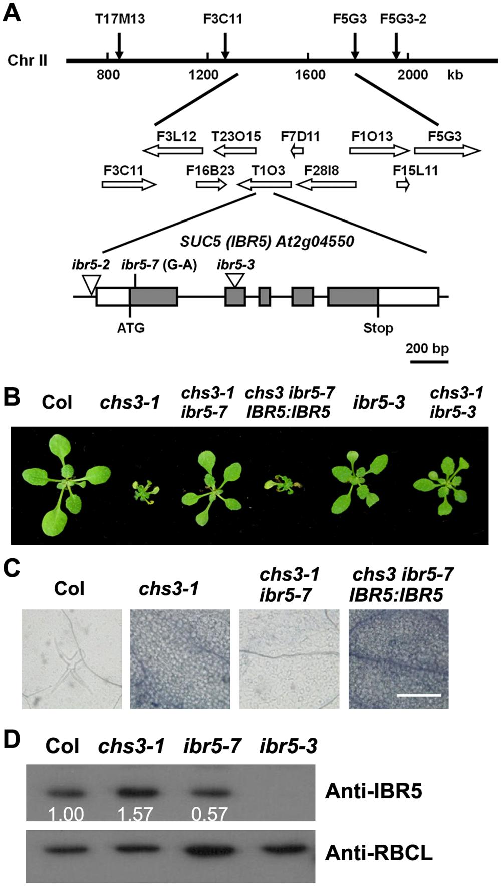 Identification of <i>SUC5</i>.