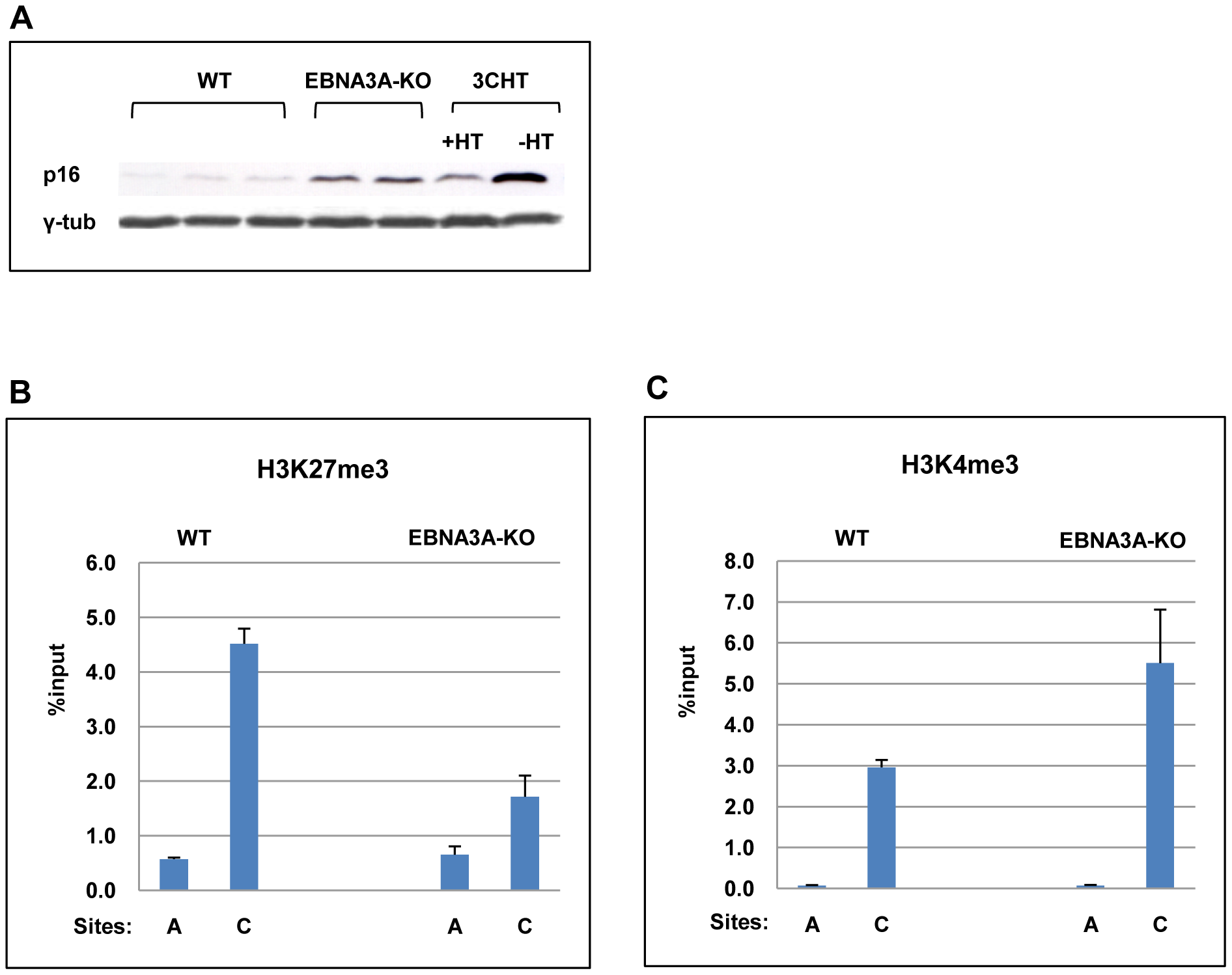 EBNA3A contributes to the regulation of <i>p16<sup>INK4A</sup></i>.