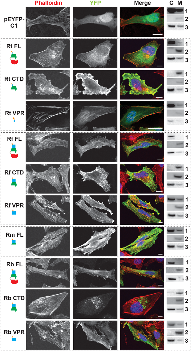 RalF subcellular localization and actin filament disruption mediated by the SCD and VPR.