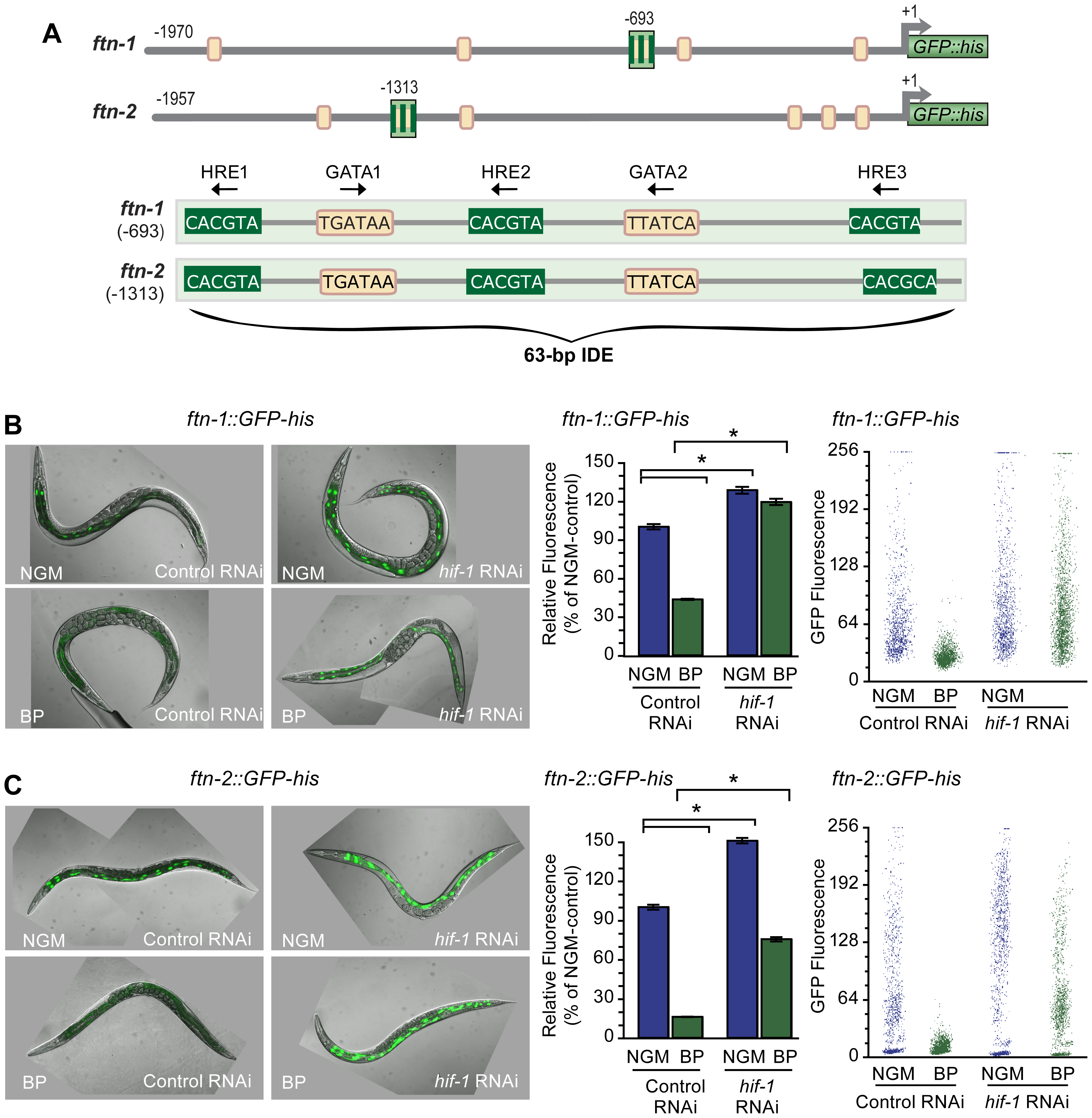 HIF-1 is required for <i>ftn-1</i> and <i>ftn-2</i> transcriptional repression during iron deficiency.
