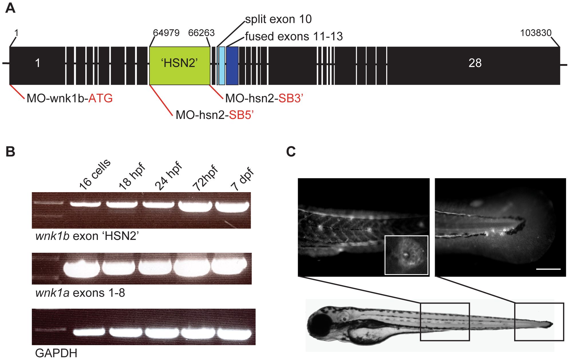 Expression of the WNK1 kinase in zebrafish embryos.