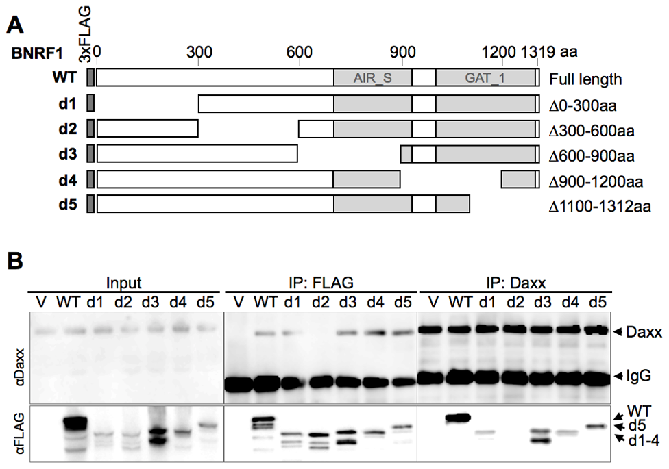 Mapping the Daxx-interaction domain on BNRF1, and the effect of BNRF1 on the Daxx-ATRX complex.