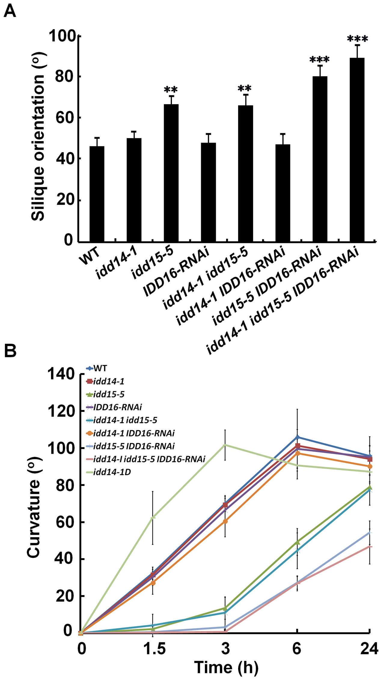Silique orientation and gravitropic response in gain- and loss-of-function <i>idd</i> mutants.