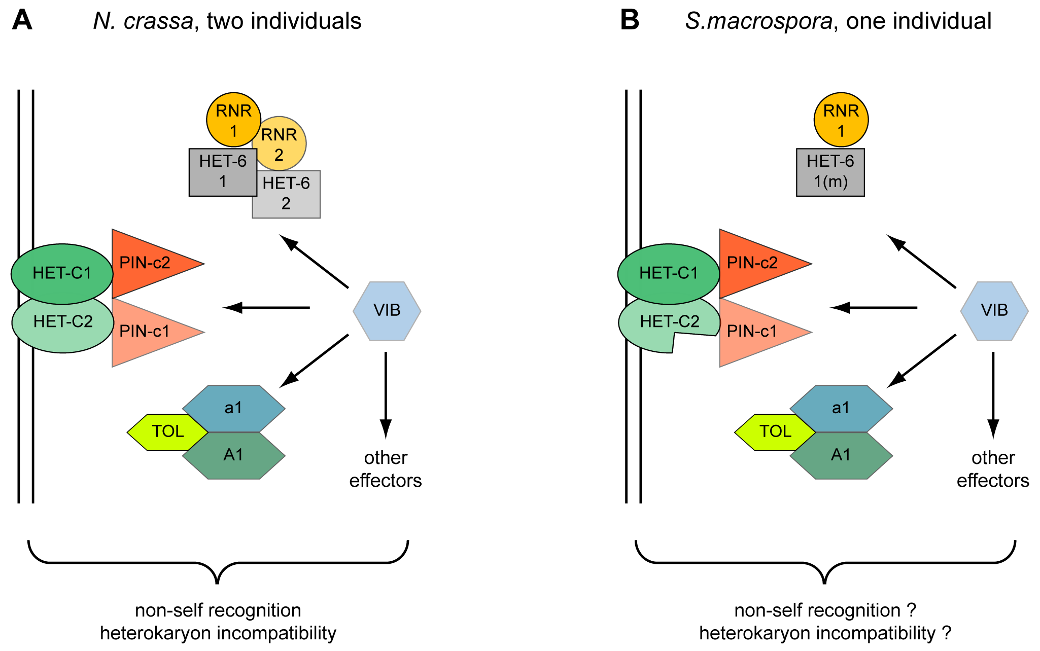 Model for the action of heterokaryon incompatibility.