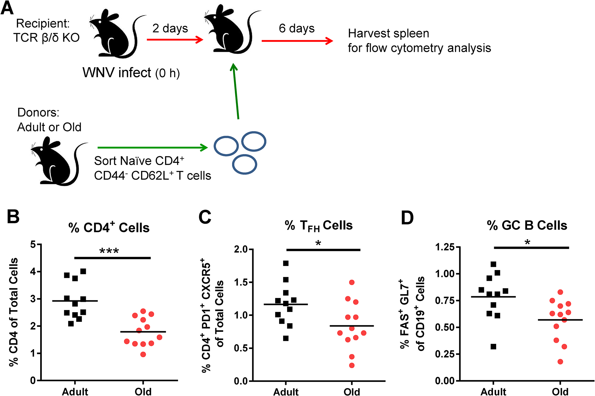 Transfer of naïve CD4<sup>+</sup> T cells from old mice results in reduced GC responses.
