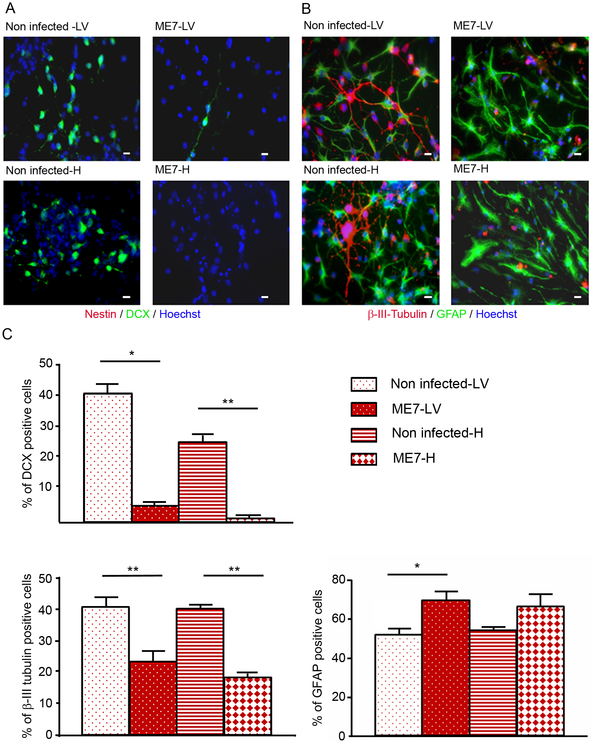 Impairment of the neuronal differentiation of NSC derived from prion infected mice.