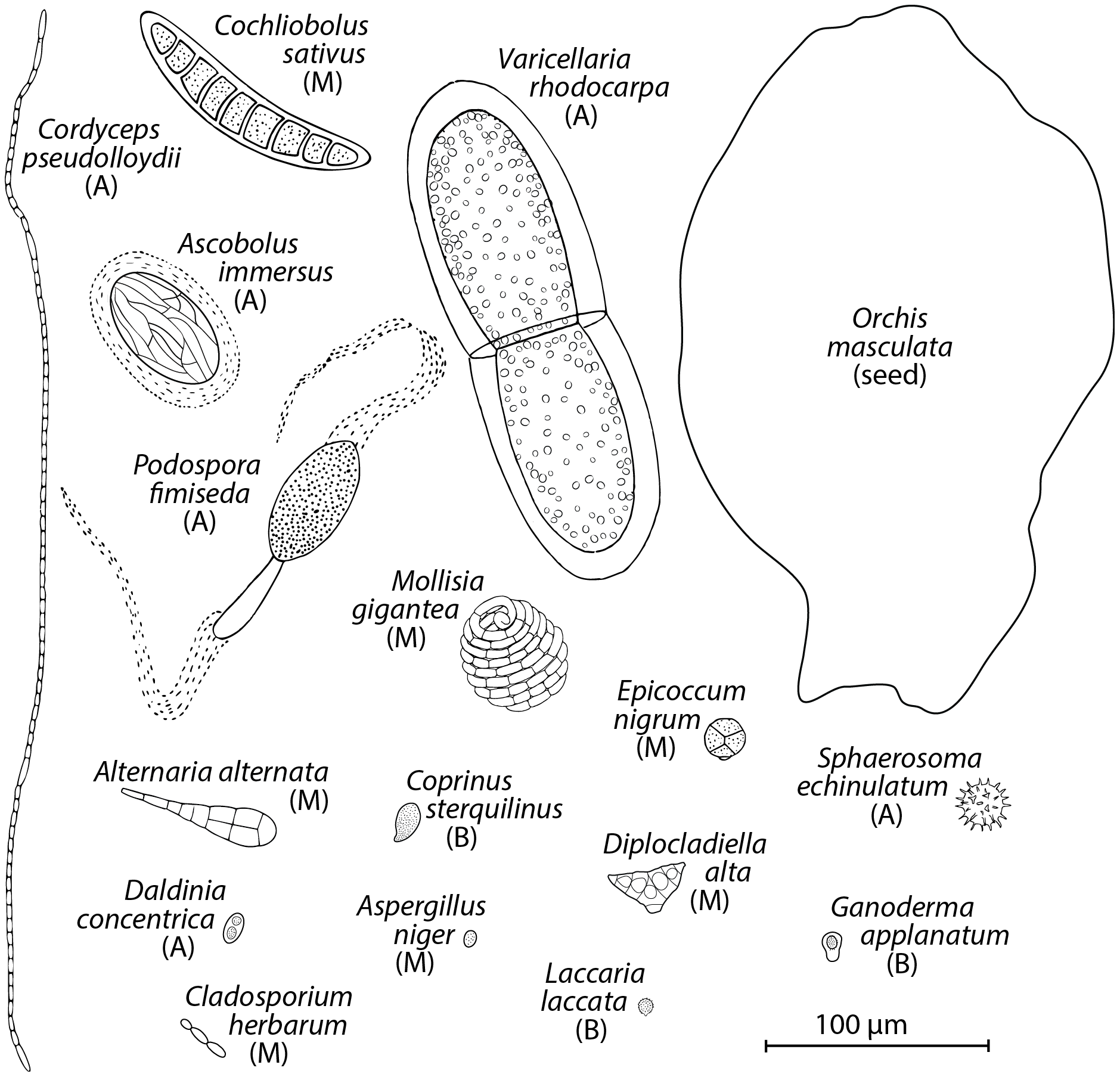 Drawings of spores found in air.