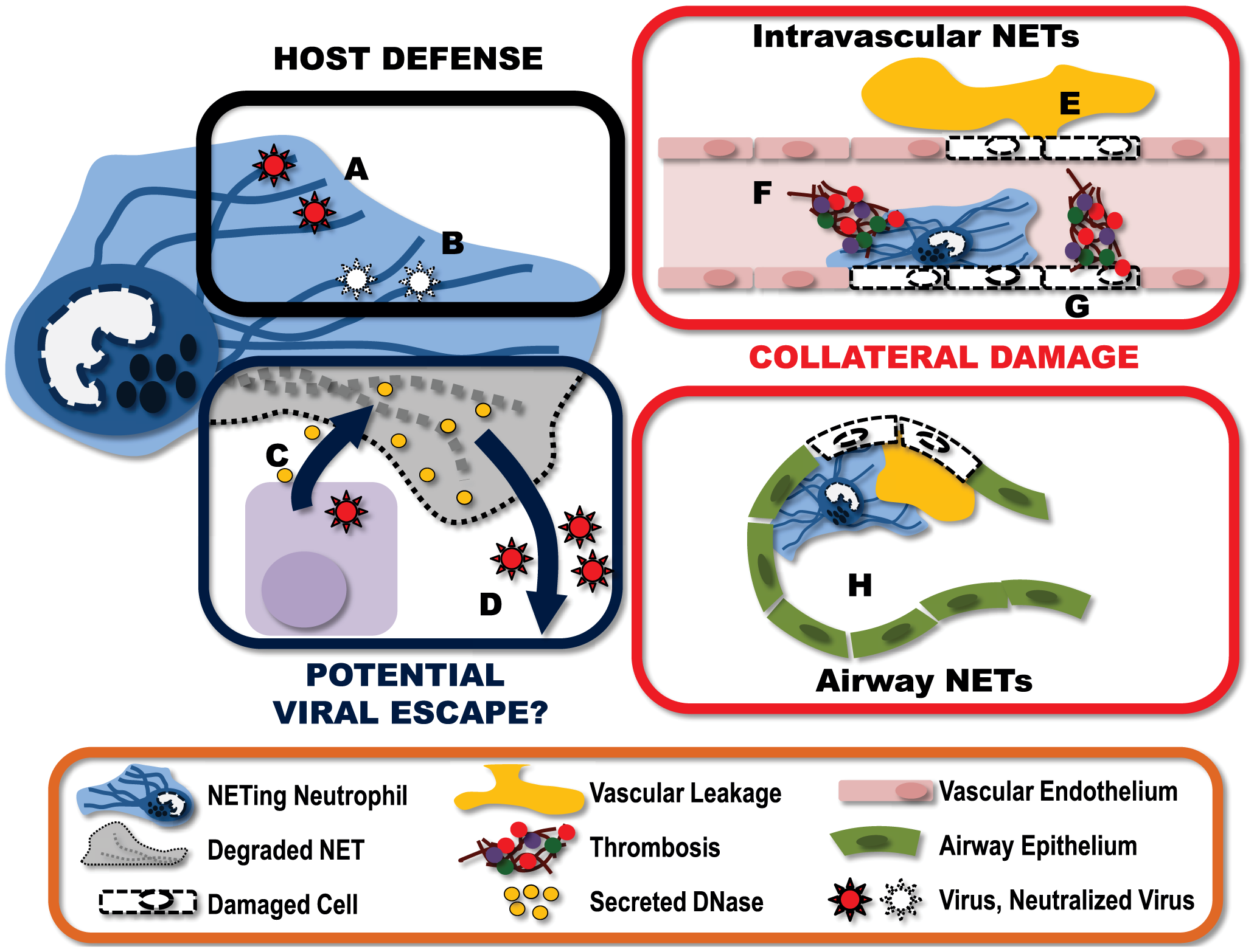 Virally-induced NETs represent a complex and multifaceted component of the host immune response.