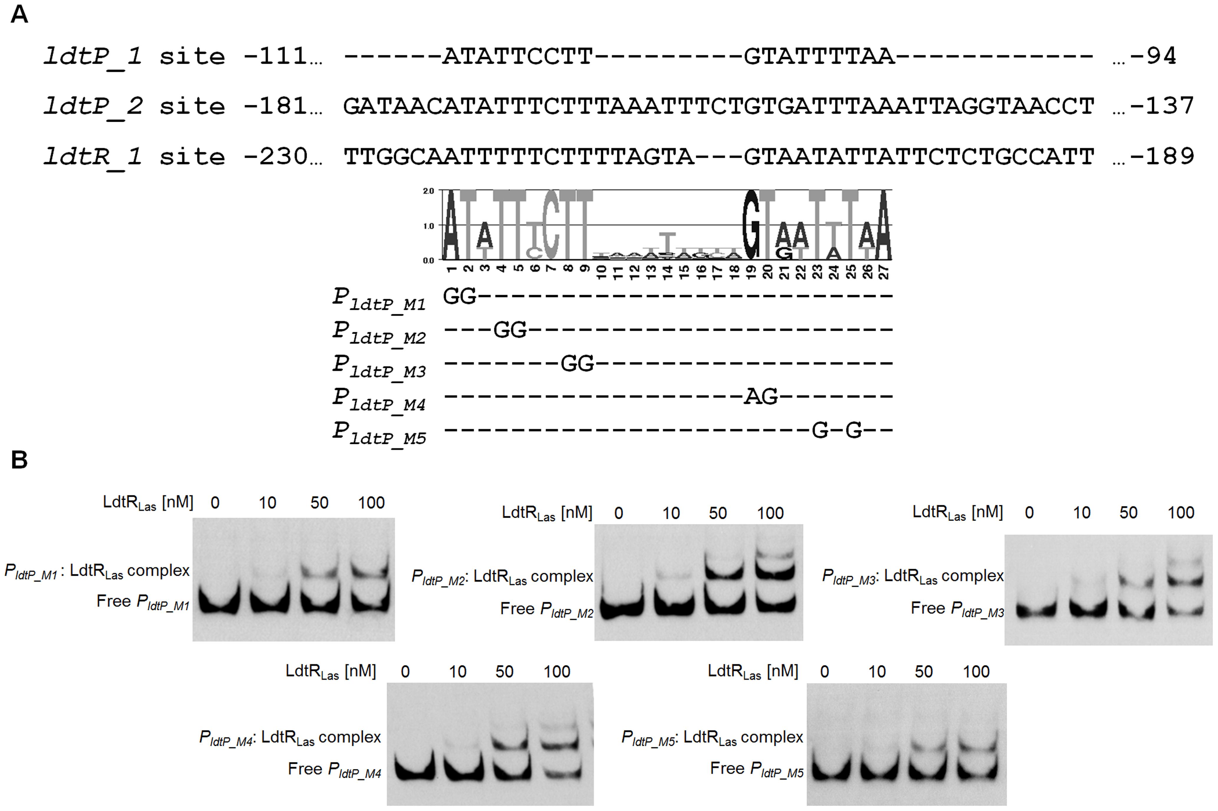 Characterization of LdtR<sub>Las</sub> binding site.
