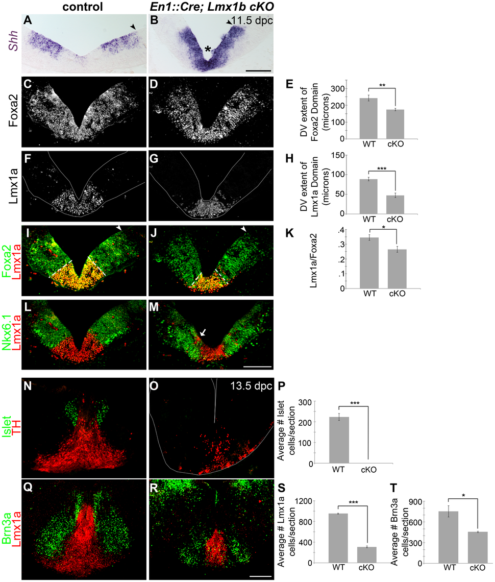 Loss of <i>Lmx1b</i> alters the size of the FP, the mDA progenitor domain, and ventral midbrain patterning.