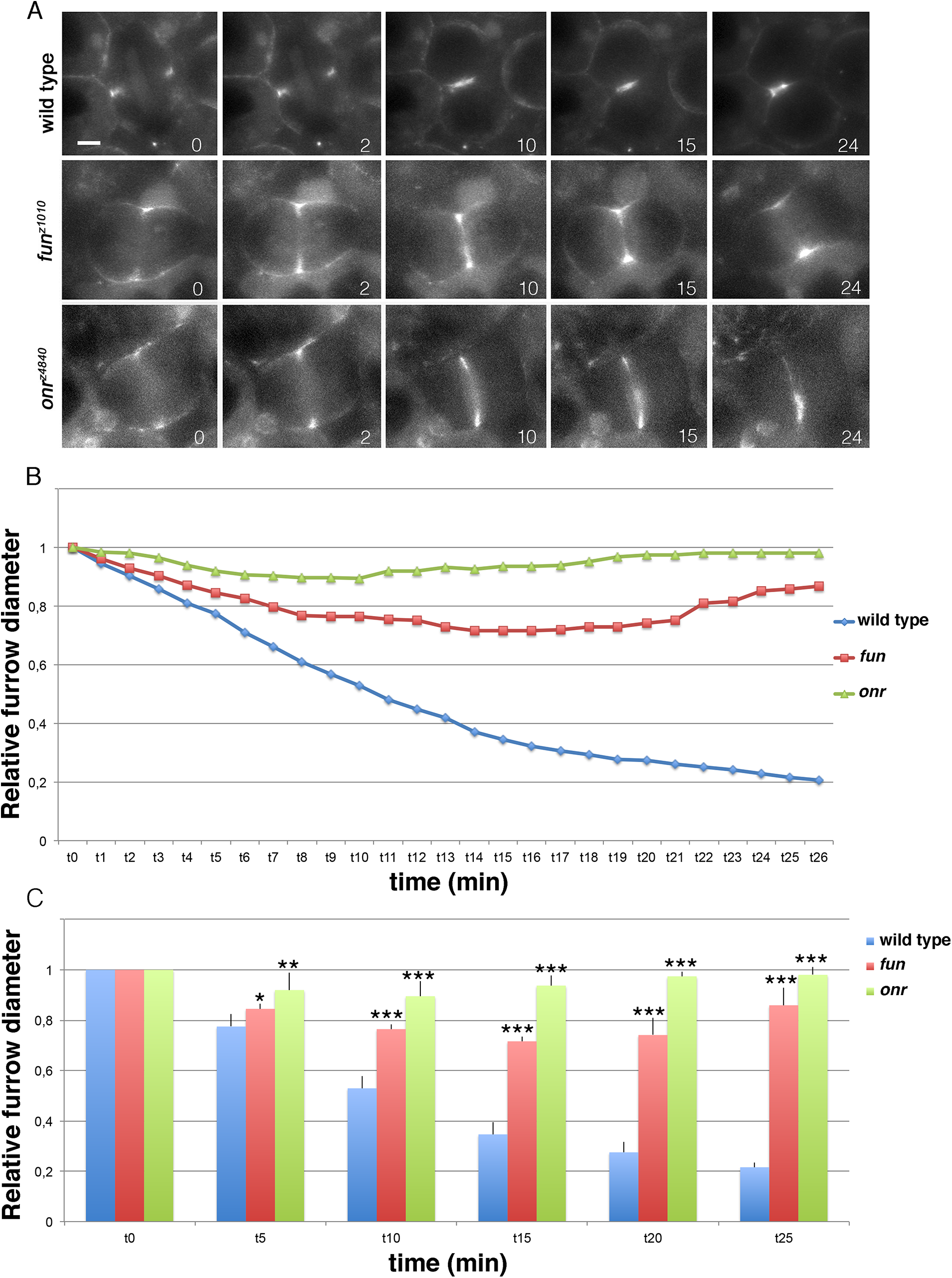 Defective cytokinetic ring ingression in <i>fun</i> and <i>onr</i> mutant cells.